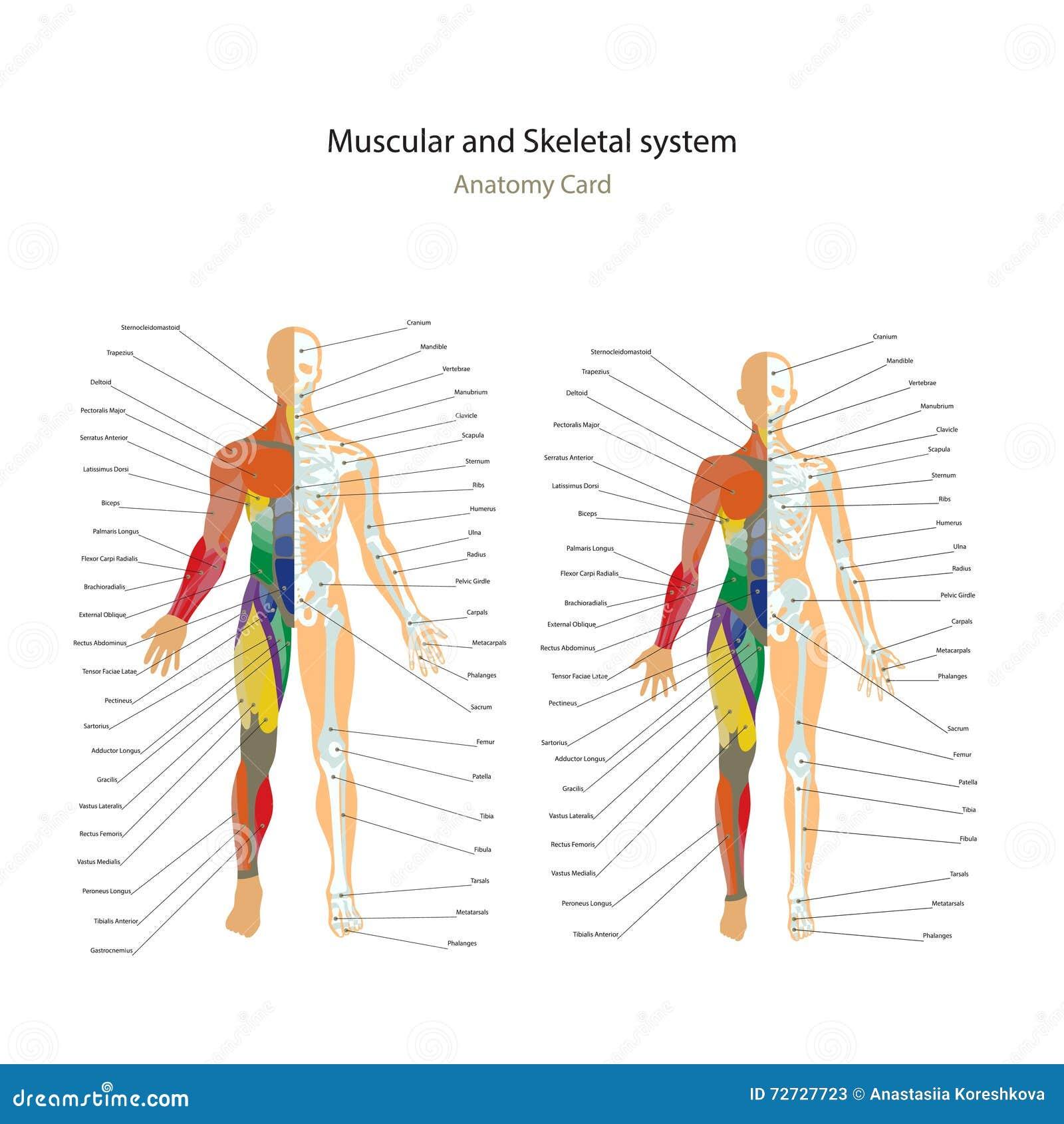 Ungewöhnlich Anatomie Und Physiologie Systeme Galerie - Anatomie ...