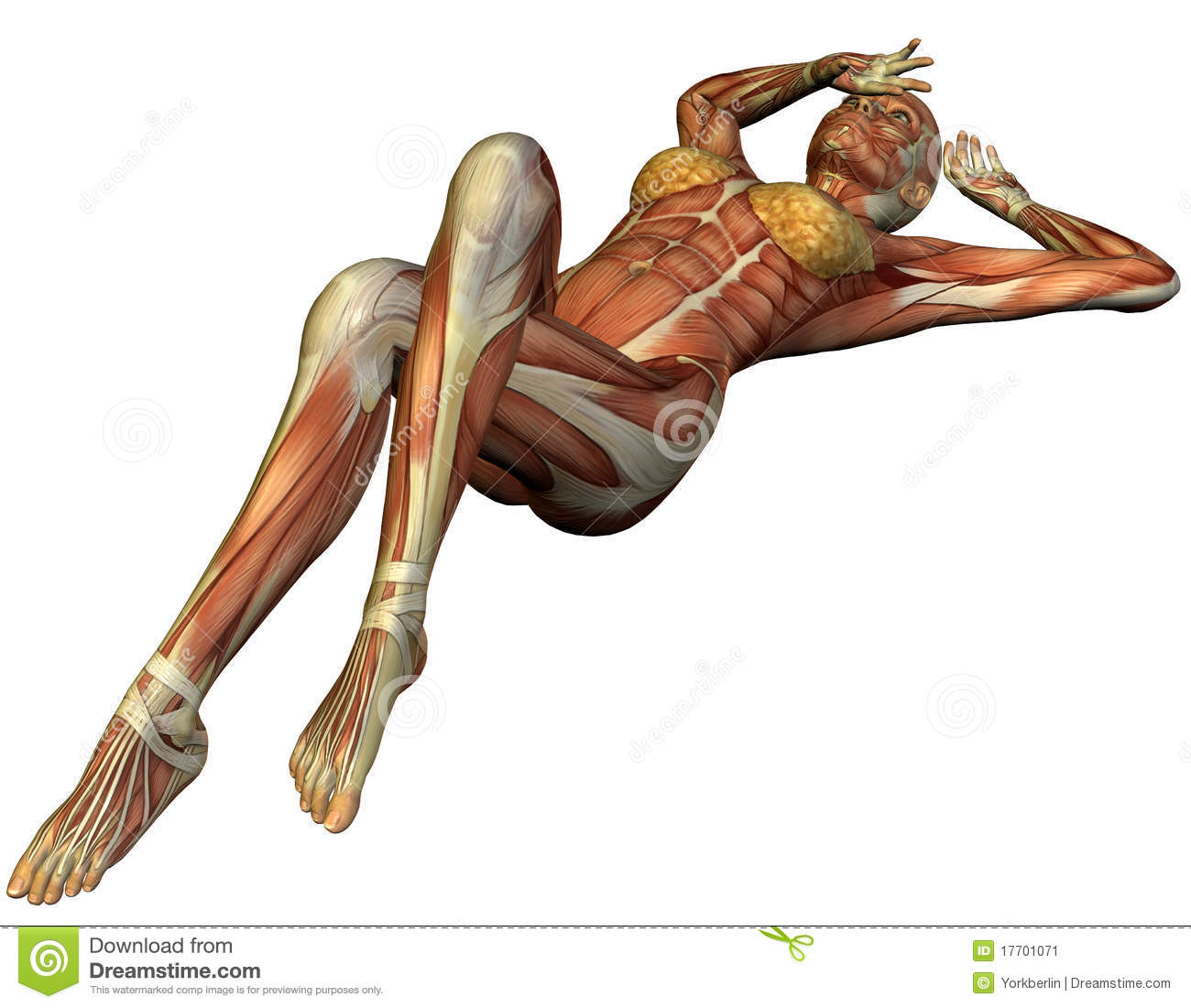 muscle structure of a supine woman stock image - image: 17701071, Muscles