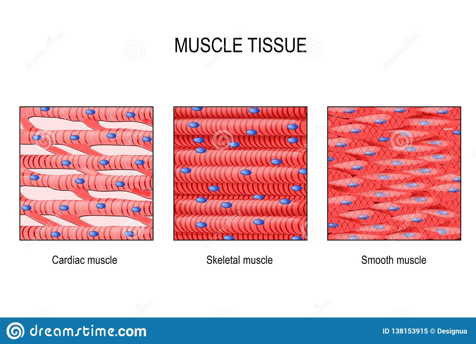 Muscle Tissue: Skeletal, Smooth And Cardiac Stock Vector ...