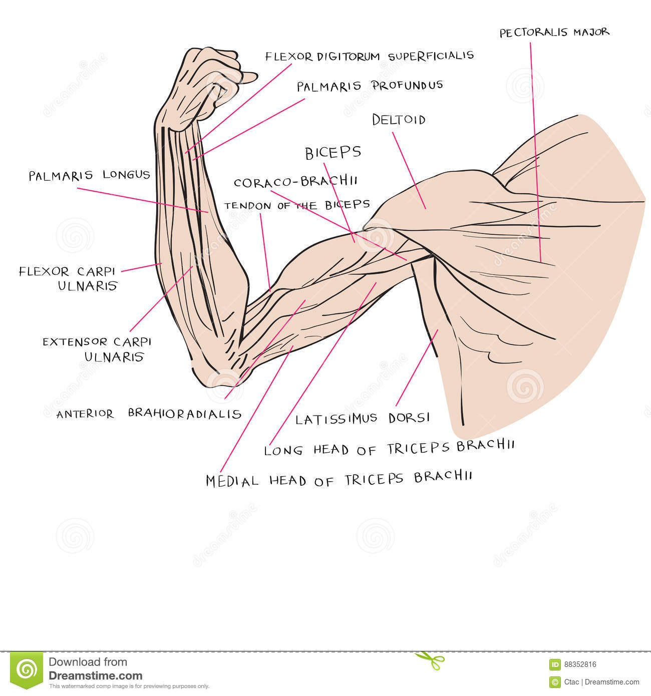 Muscles of the arm color stock vector. Illustration of drawn - 88352816