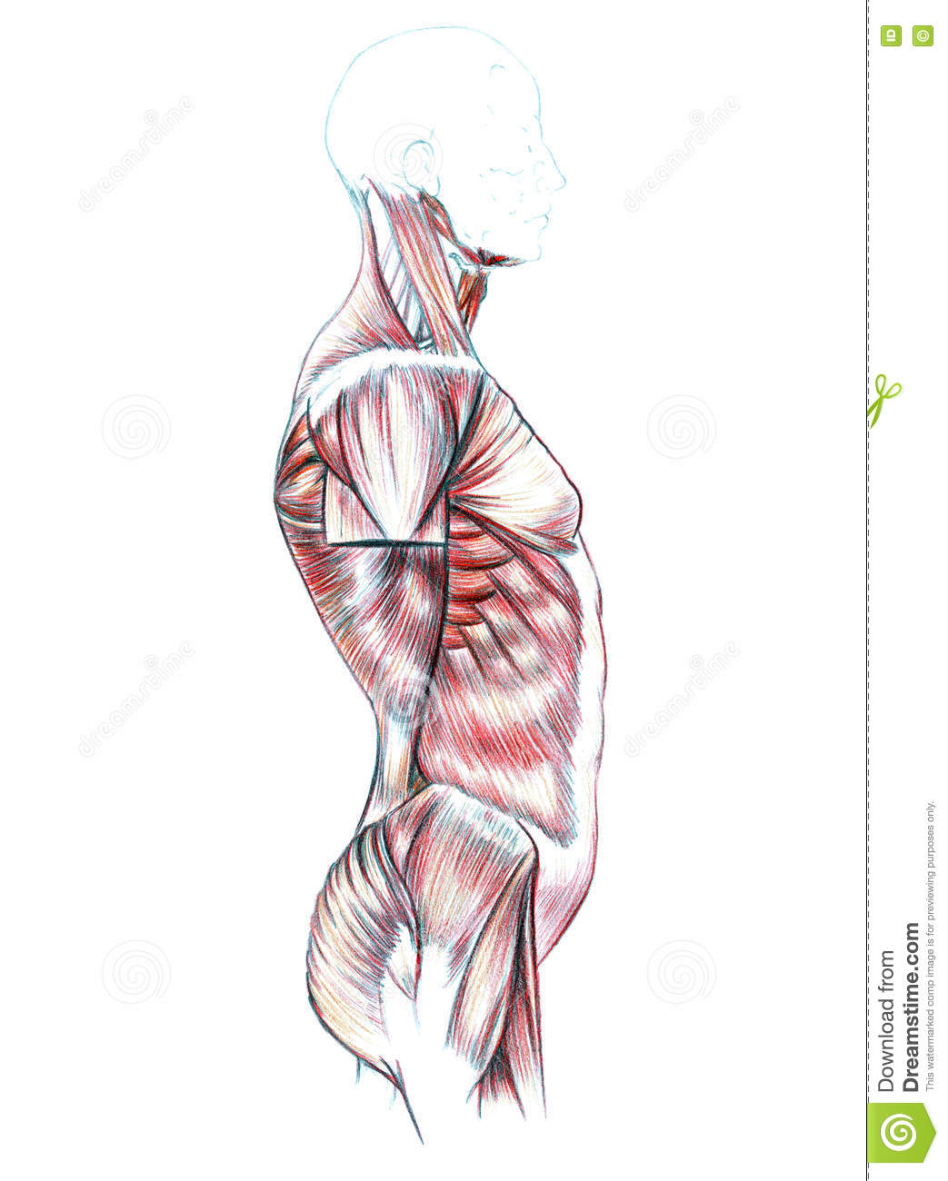 Muscles Of Back Shoulders Chest Abdomen And Buttocks Stock
