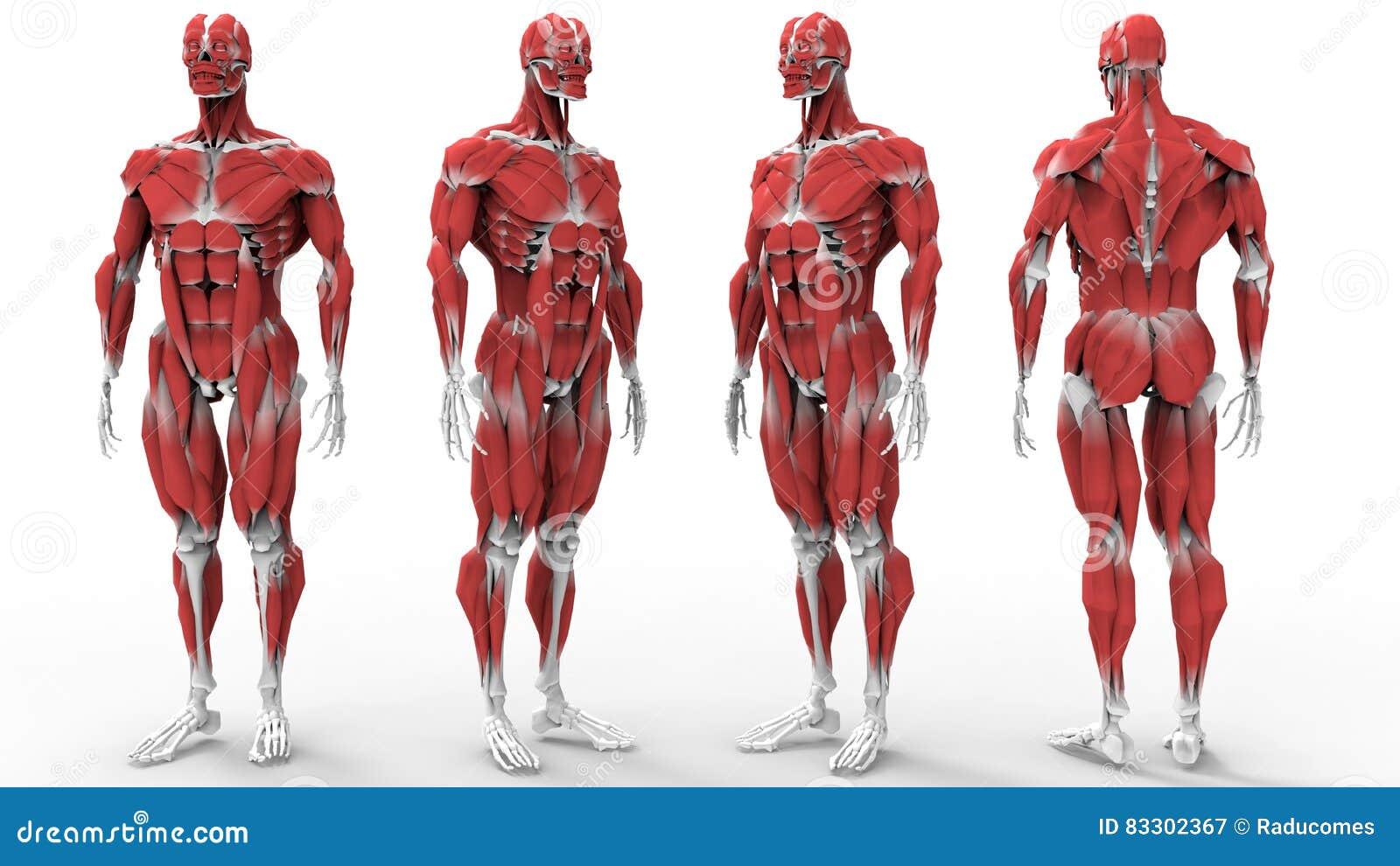 Muscles and bones anatomy stock illustration. Illustration of human ...