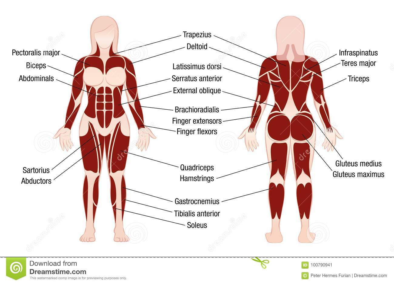 Woman Muscle Diagram - Find Wiring Diagram •