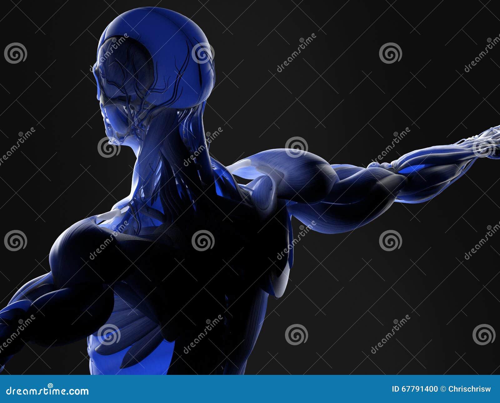 Muscles et artères au corps humain