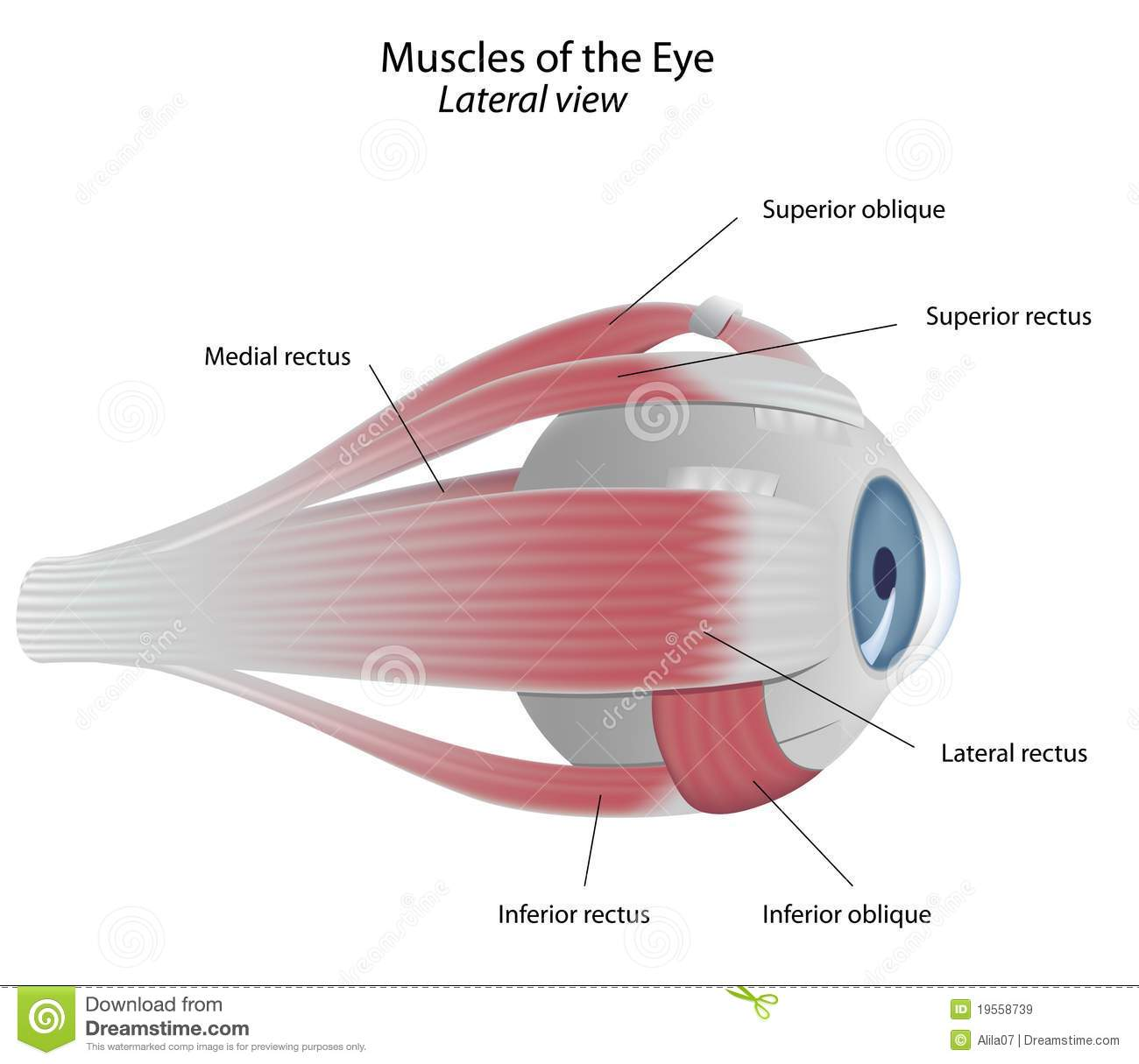Muscles Of The Eye Stock Vector Illustration Of Body 19558739