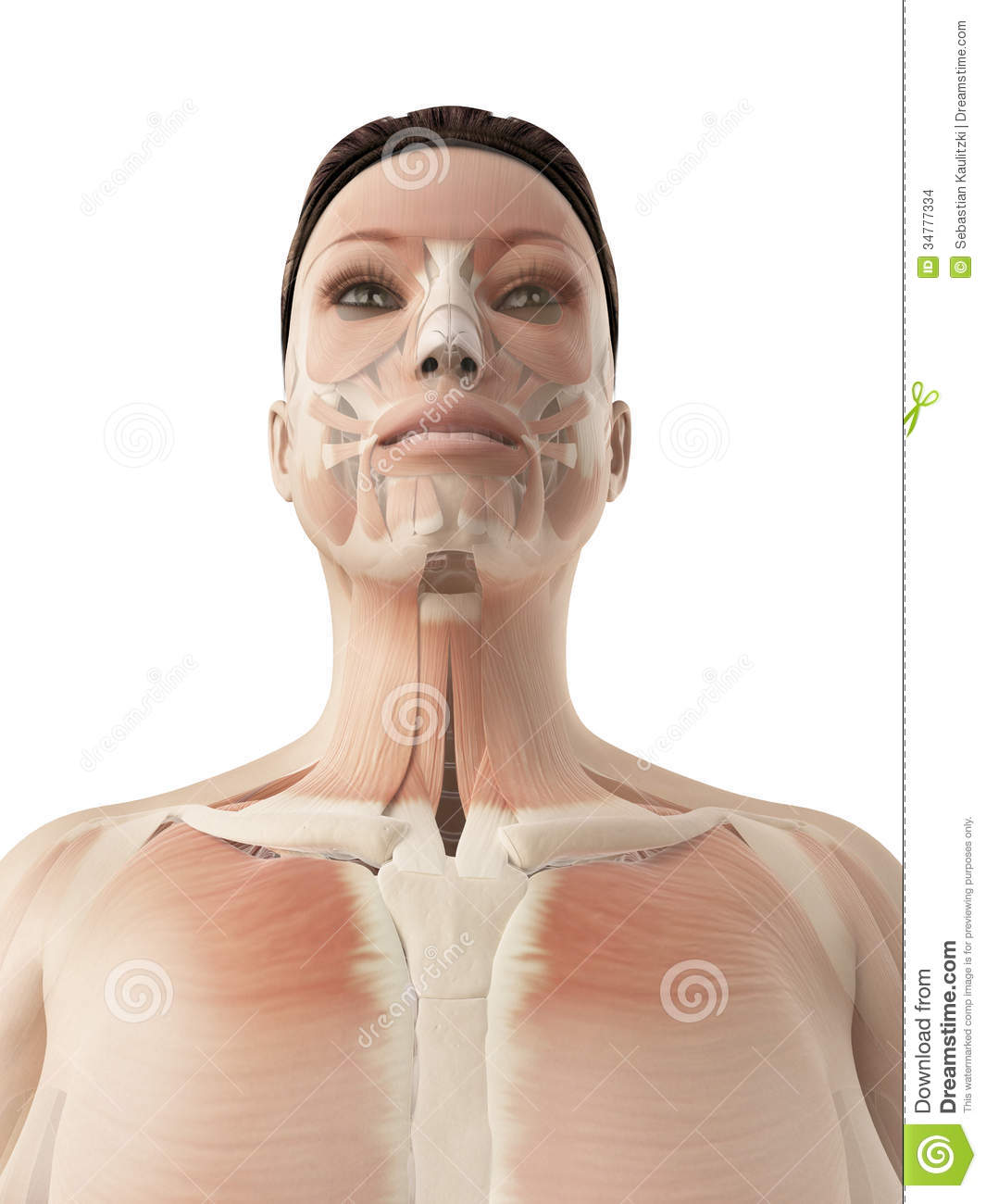 Muscles Of The Face Stock Illustration Illustration Of Woman 34777334