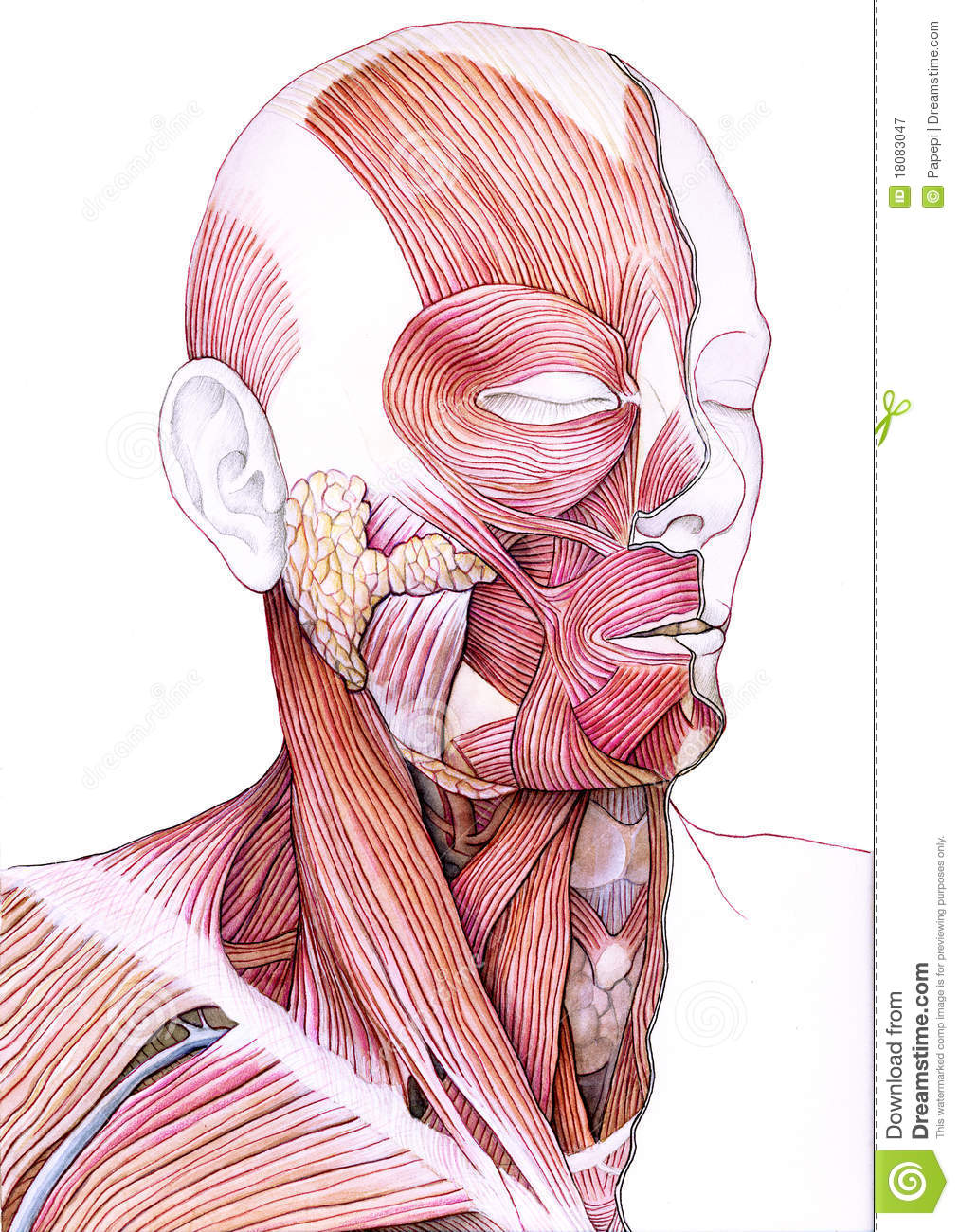Muscles Of The Face And Neck Stock Illustration Illustration Of