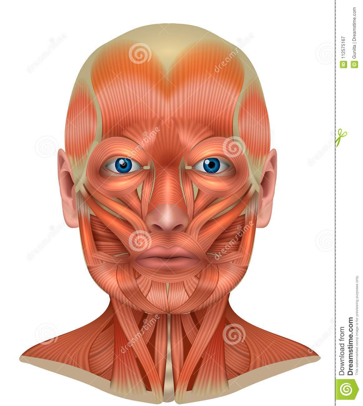 Muscles Of The Face And Neck Stock Vector - Illustration of clip ...