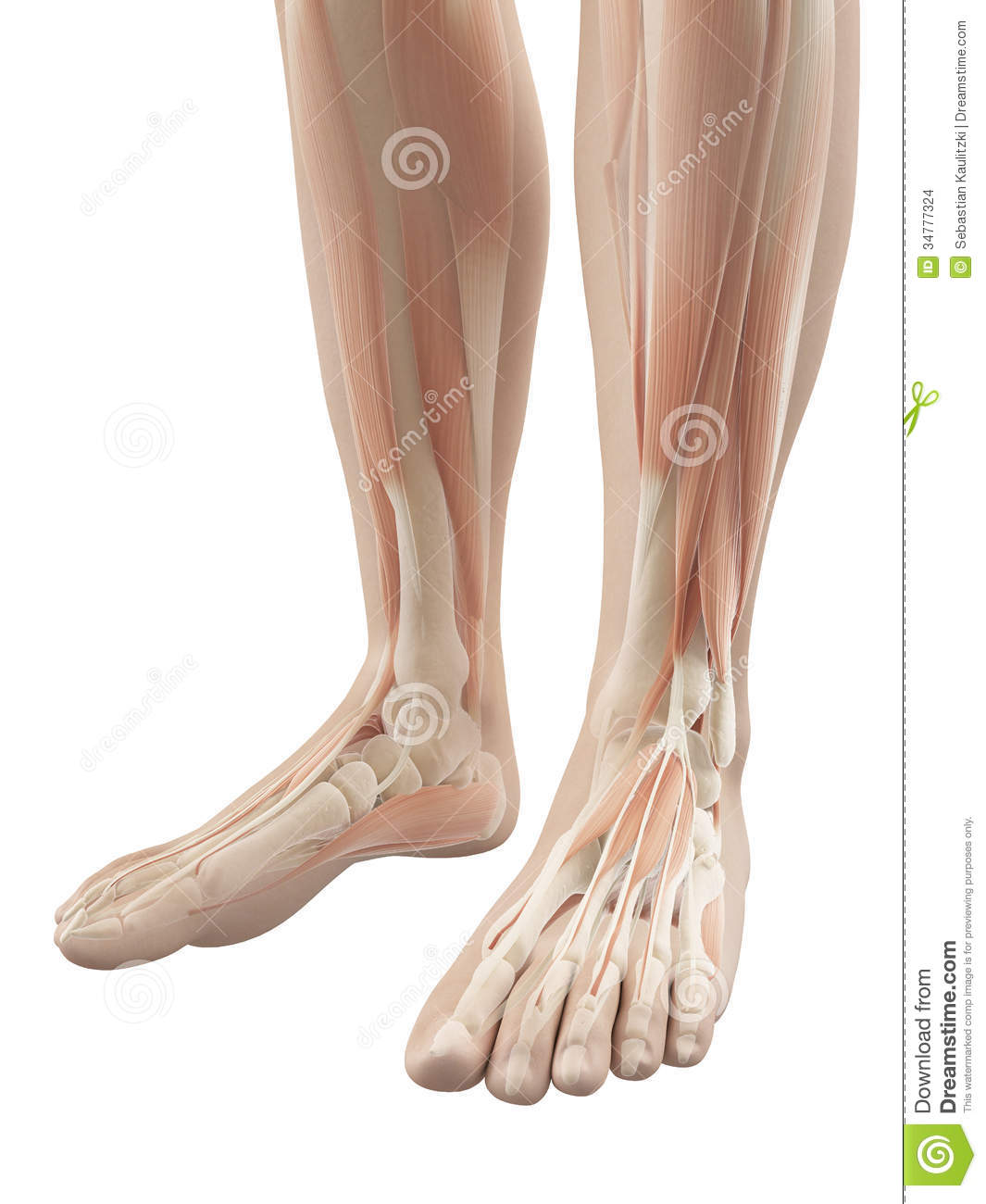 Muscles of the feet stock illustration. Illustration of skin - 34777324