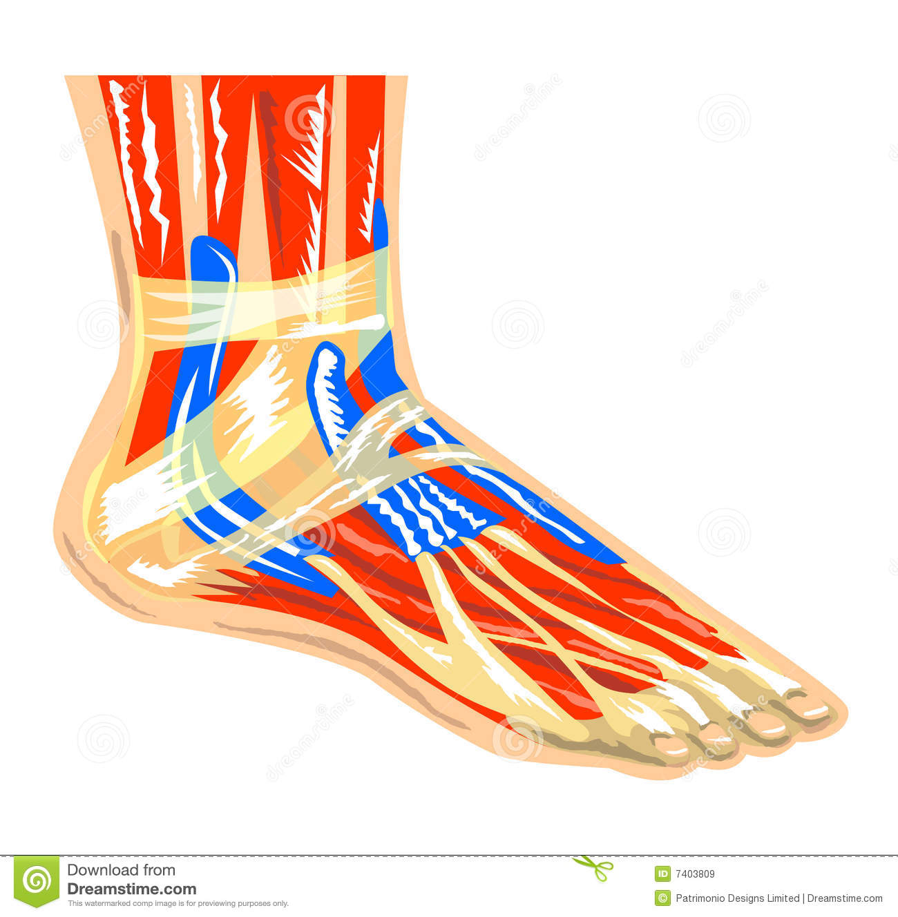 Muscles Of The Foot Stock Illustration Illustration Of Joint 7403809