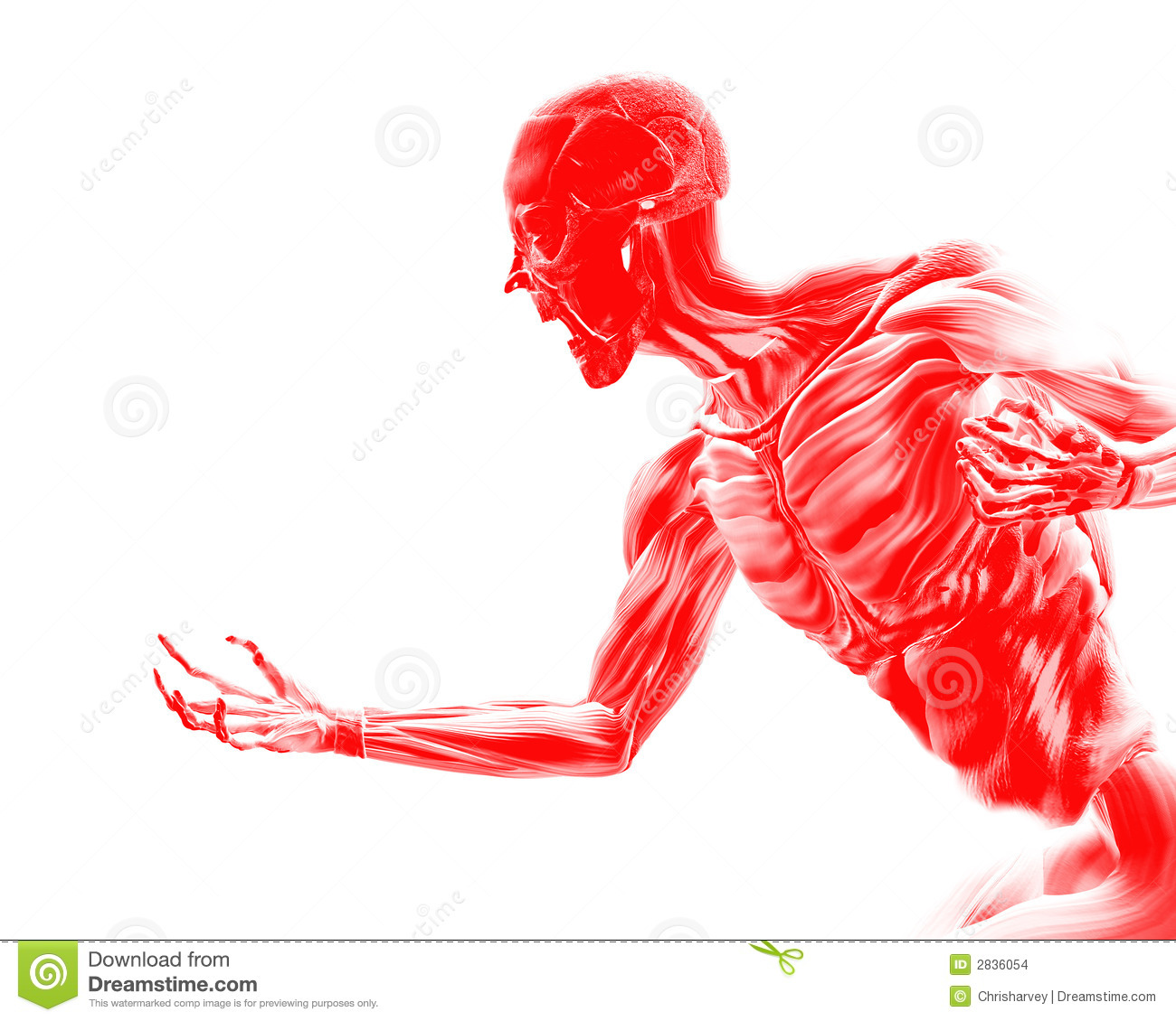 muscles on human body 16 royalty free stock image - image: 3173636, Muscles