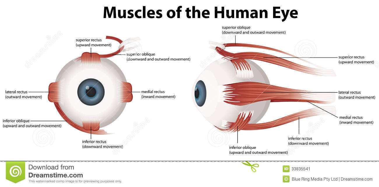Cow Eye Anatomy Gallery - human body anatomy