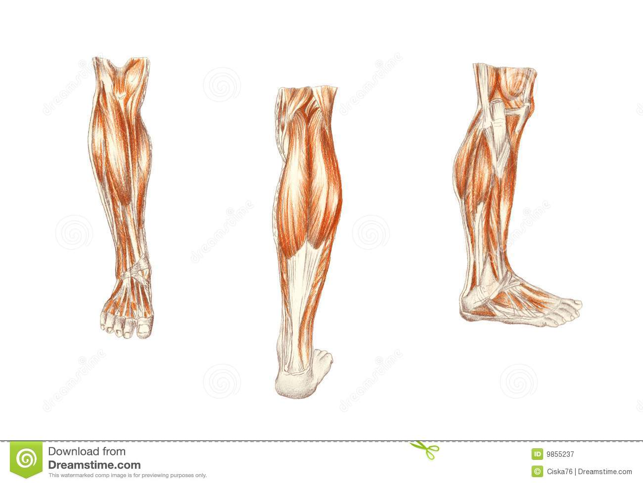 Muscles Of The Leg, Man\'s Anatomy Stock Illustration - Illustration ...