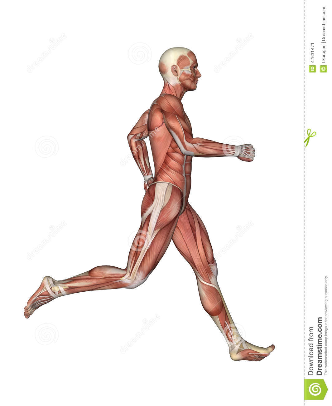 Muscles Of Male Anatomy In Motion Stock Illustration Illustration