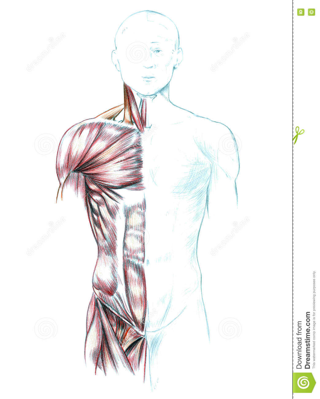 Muscles Of Neck Shoulders Chest And Abdomen Stock Illustration