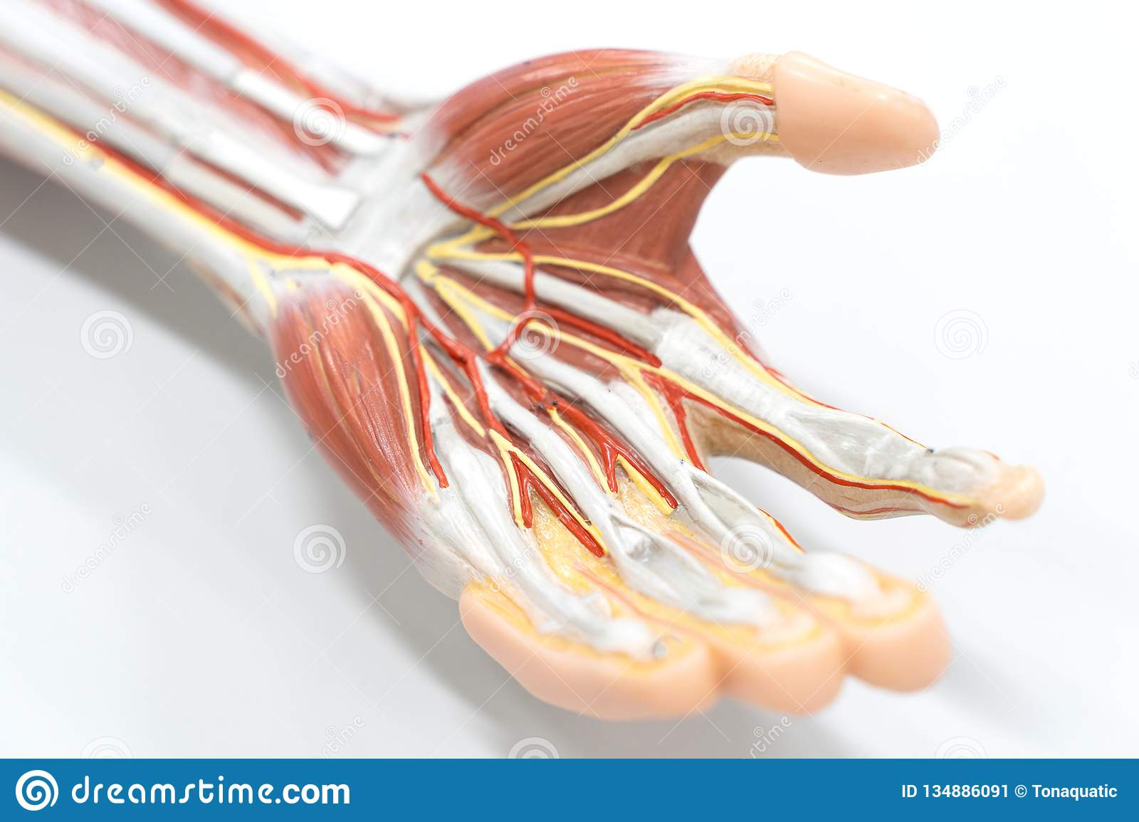 Muscles Of The Palm Hand For Anatomy Education Stock Image Image