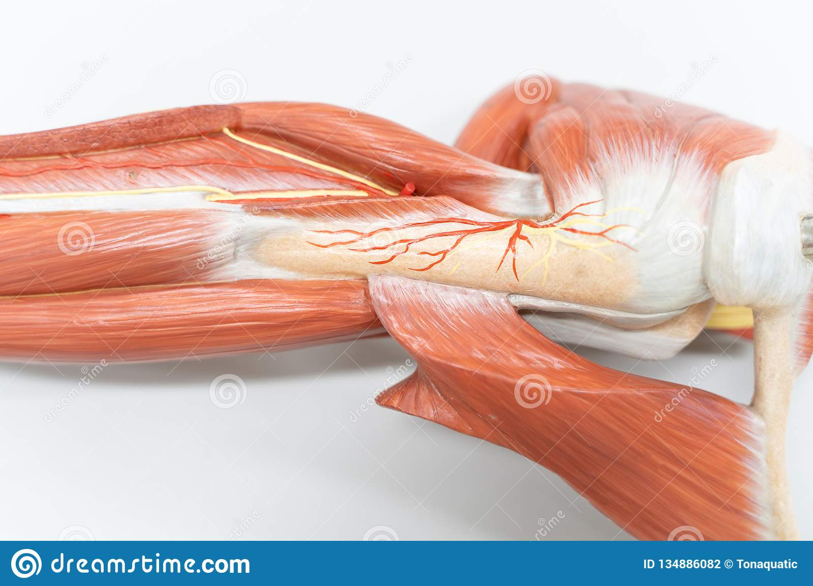 Muscles of the shoulder for anatomy education