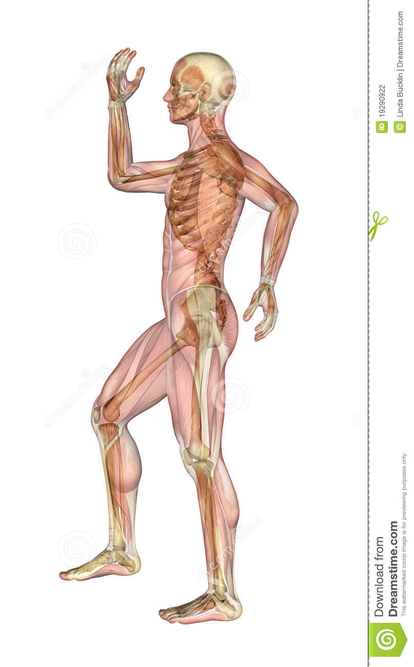 Muscles and skeleton man with arms and leg bent stock illustration download muscles and skeleton man with arms and leg bent stock illustration illustration of ccuart Choice Image