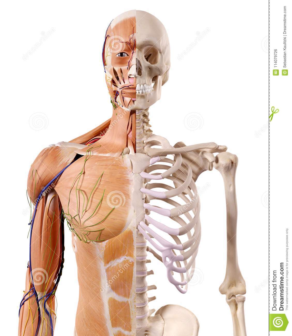 the muscles and skeleton