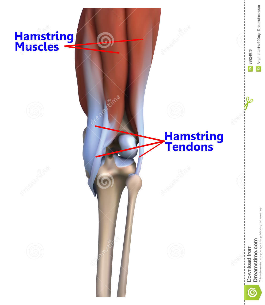 The Muscles And Tendons At The Back Of The Knee Stock Illustration