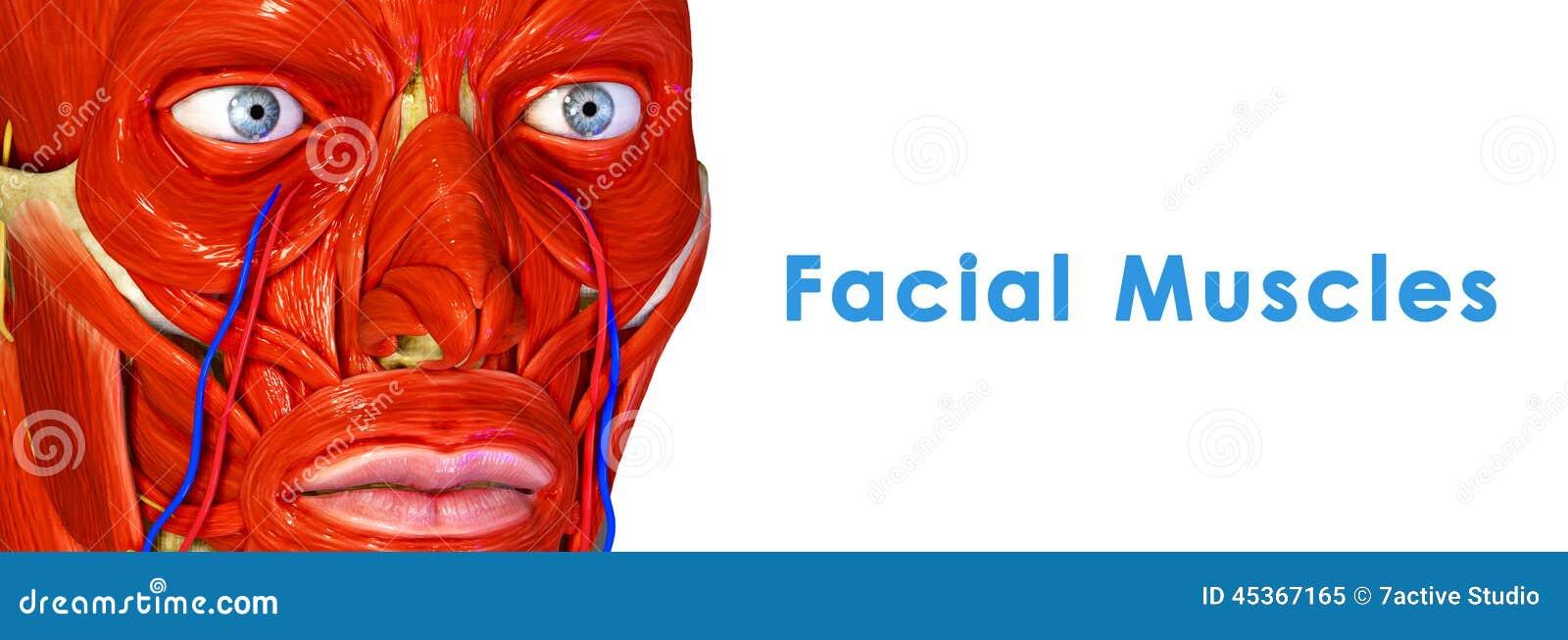Muscoli facciali