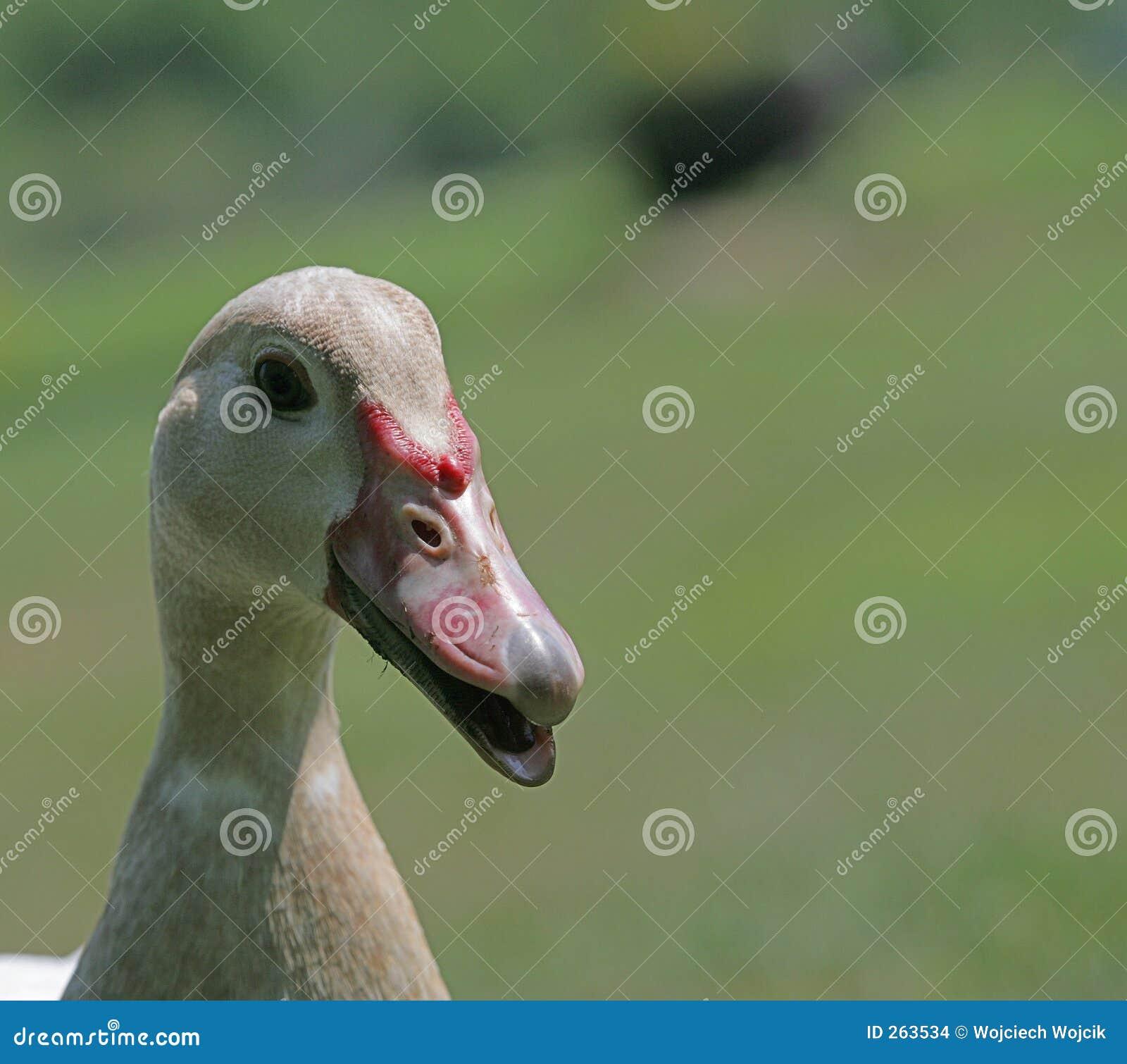 Muscovy Duck stock photo  Image of quack, pimple, beak - 263534