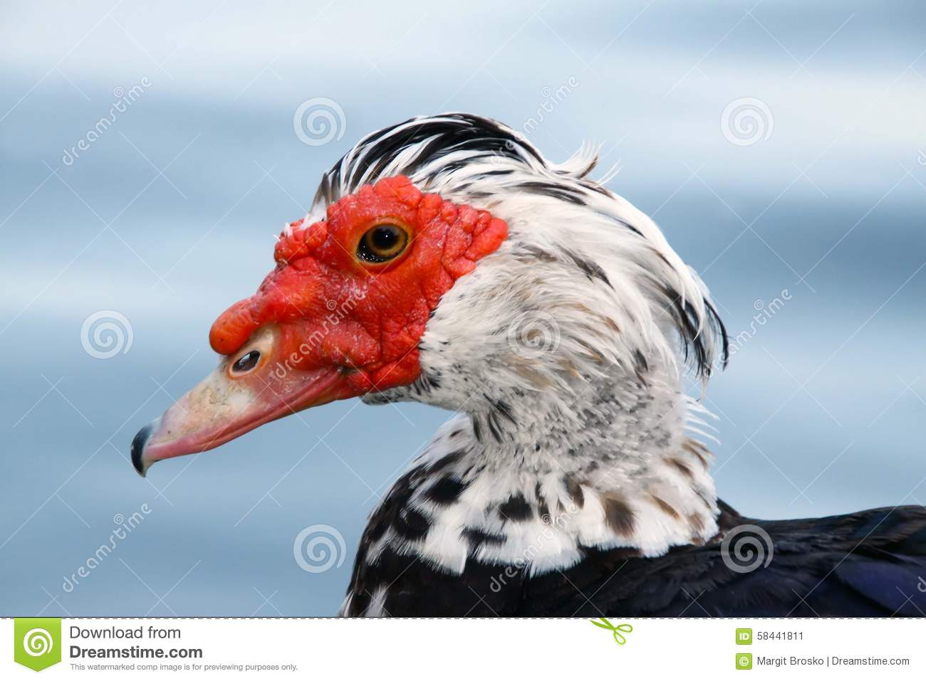 Muscovy duck stock image  Image of large, caruncle, head