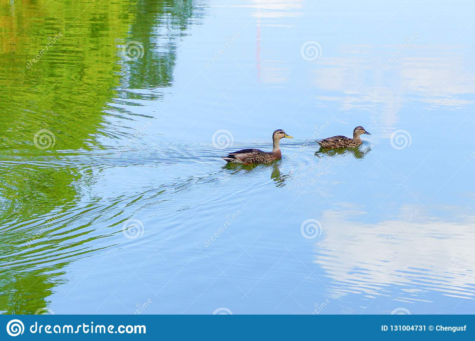 Mother Muscovy Duck And Kid Stock Image - Image of lake