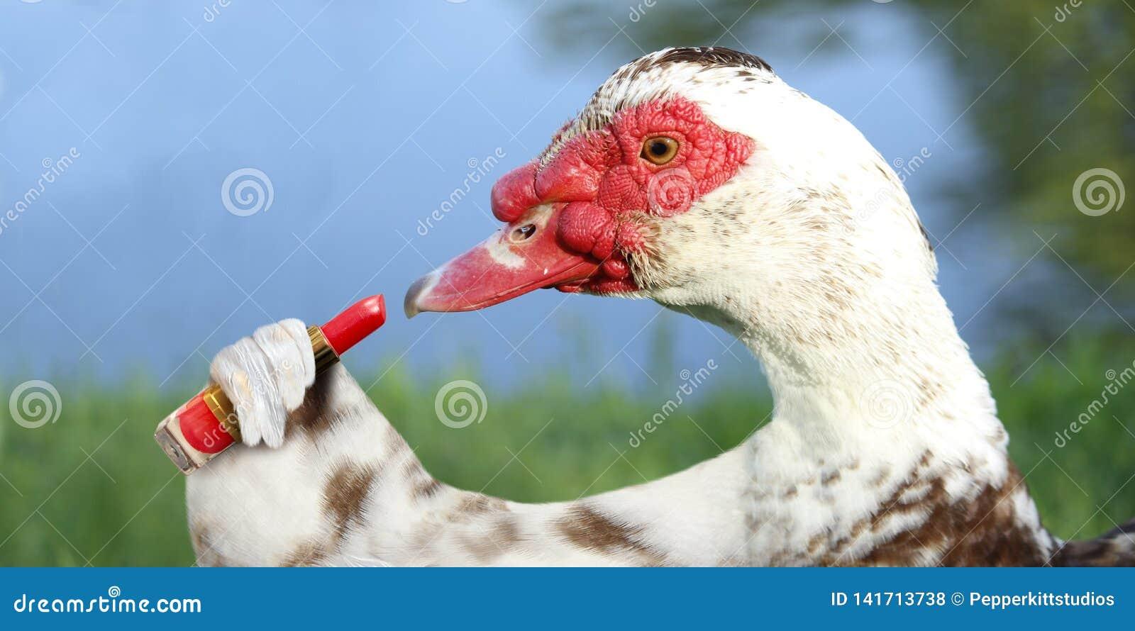 Muscovy Duck Putting no batom vermelho