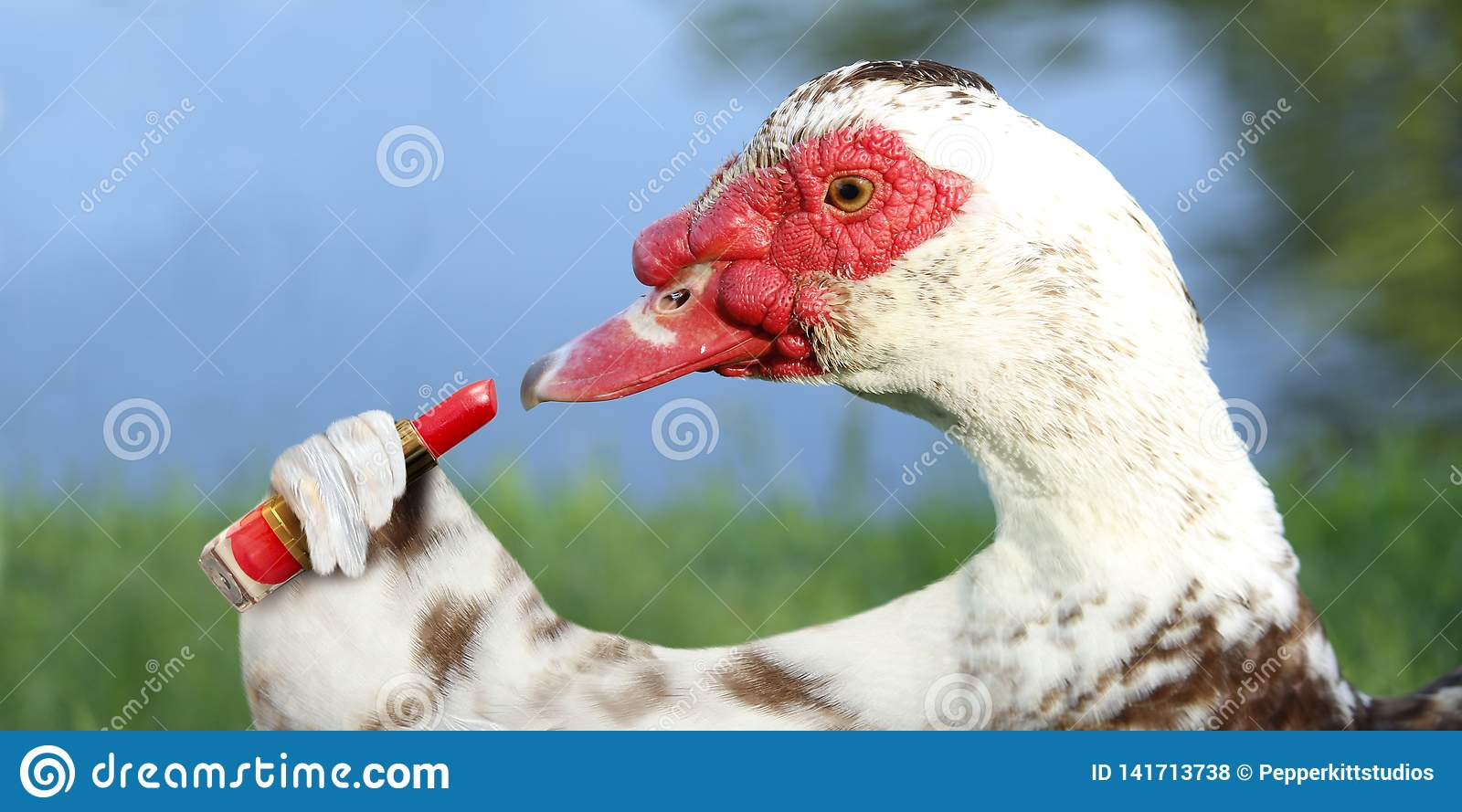 Muscovy Duck Putting on Red Lipstick