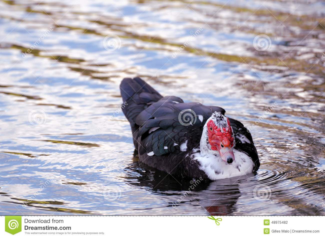 Muscovy Duck Swimming, South Florida Stock Photo - Image of
