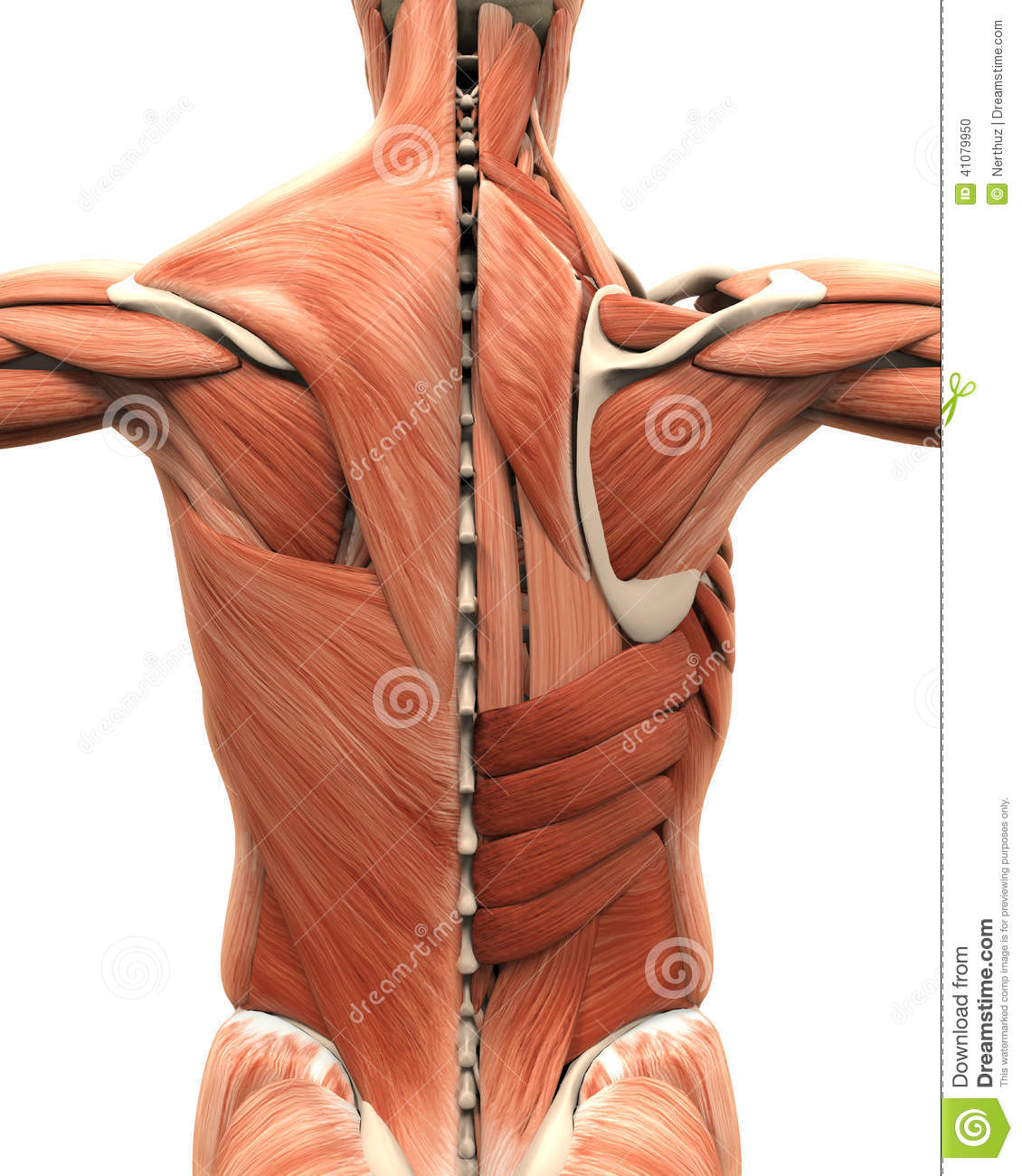 Muscular Anatomy Of The Back Stock Illustration - Illustration of ...