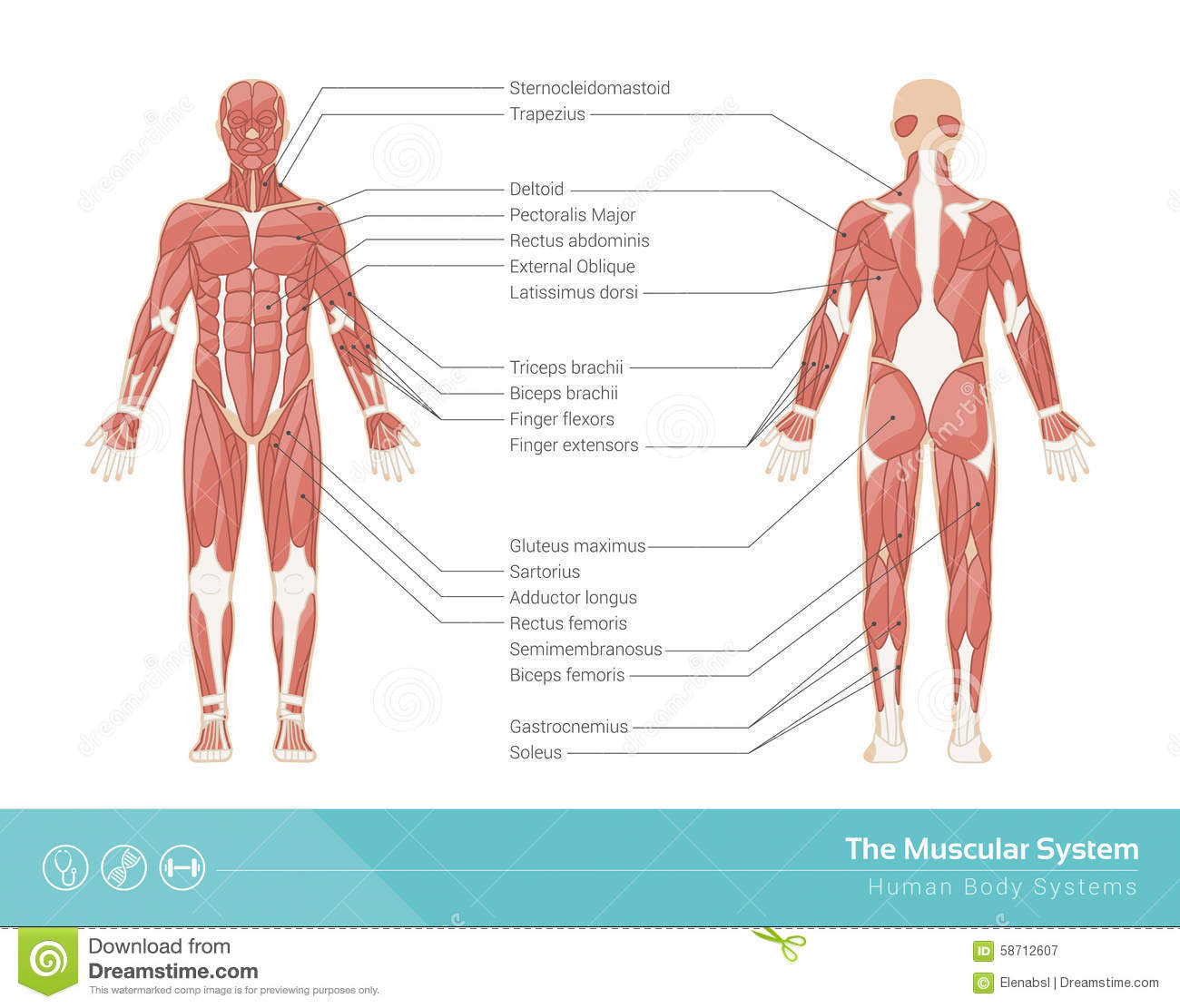 The Muscular System Stock Vector Illustration Of Label 58712607