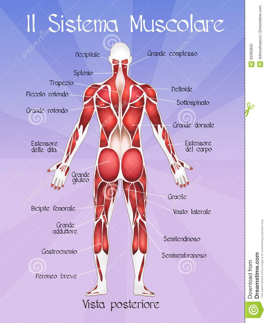 The Muscular System Stock Illustration Illustration Of Study 93395842