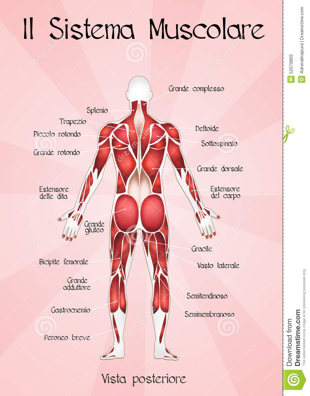 The Muscular System Stock Illustration Illustration Of Structure