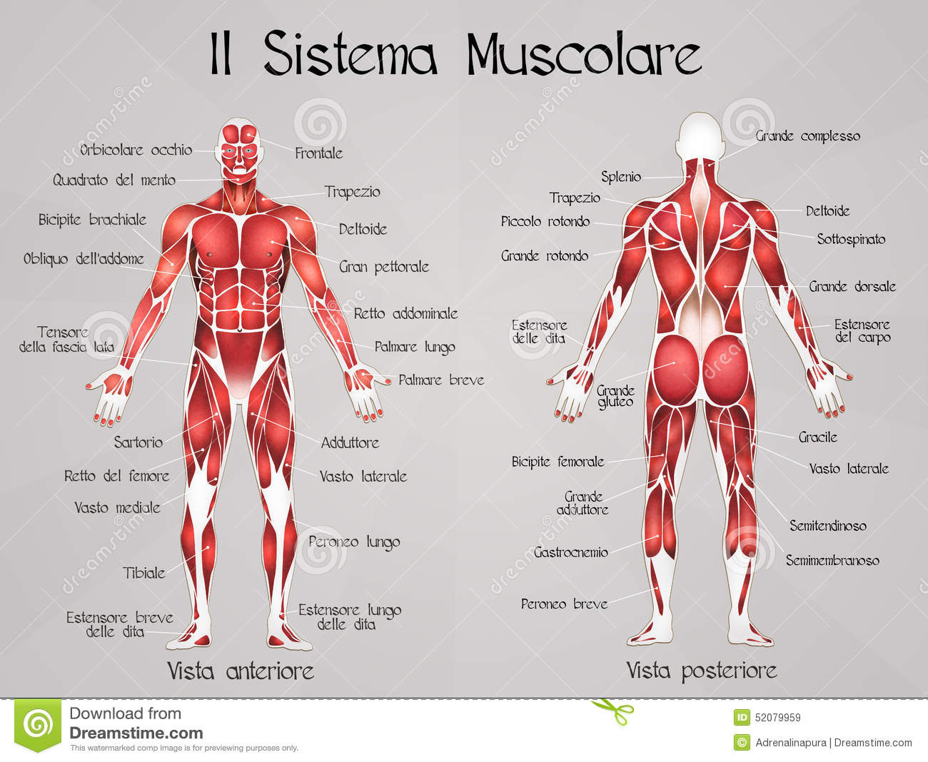 the muscular system stock illustration - image: 52079959, Muscles