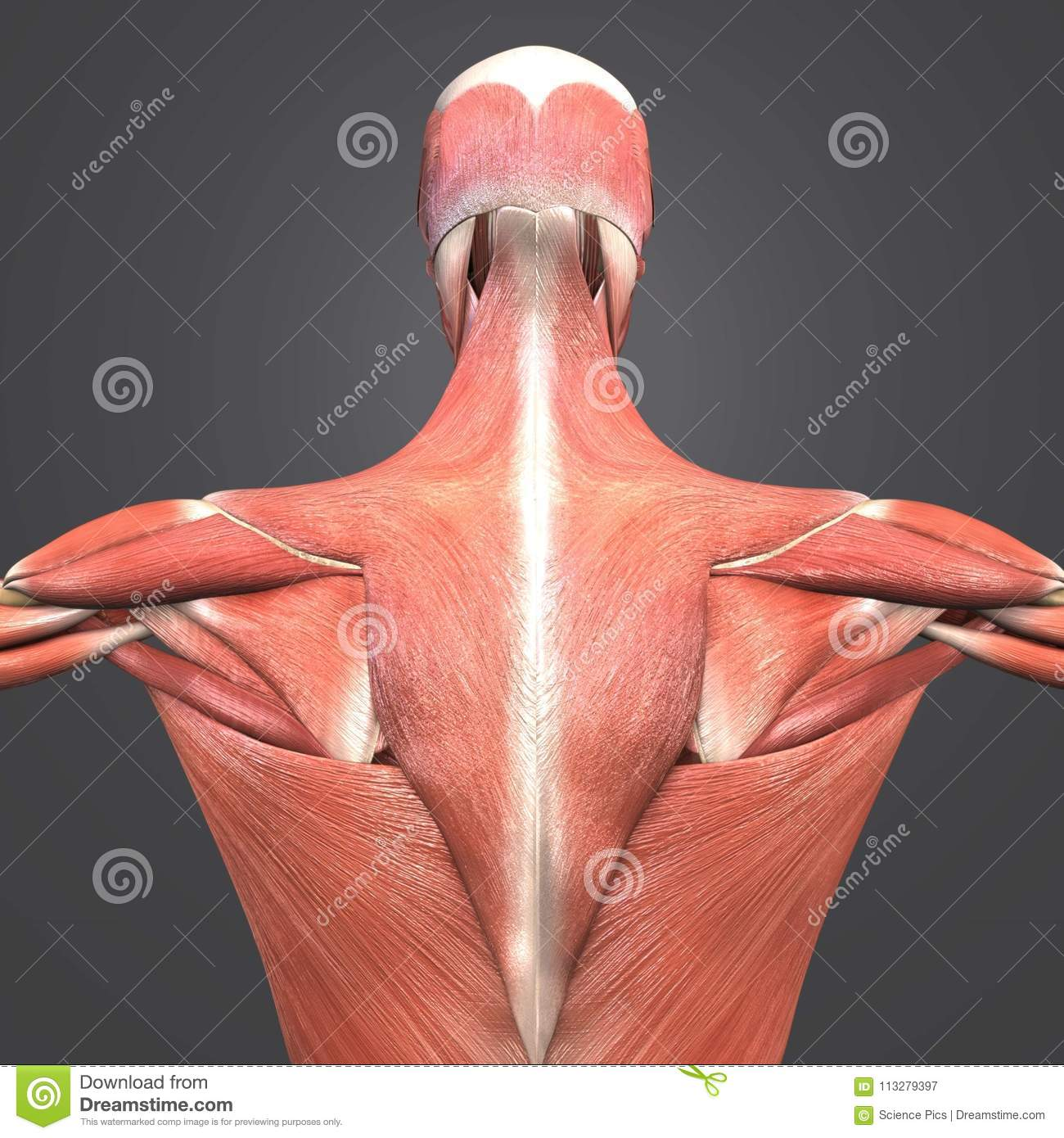 Muscle Anatomy Posterior View Stock Illustration Illustration Of