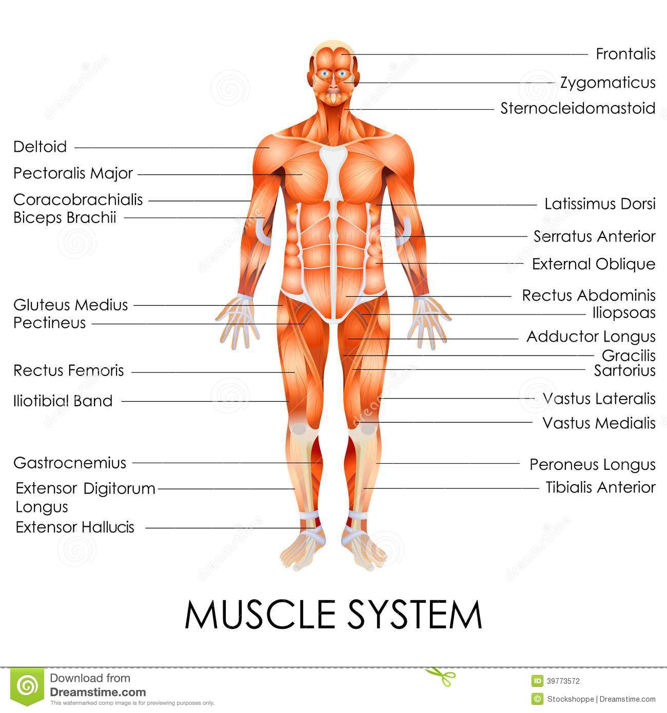 Muscular system stock vector illustration of education 39773572 muscular system ccuart Image collections