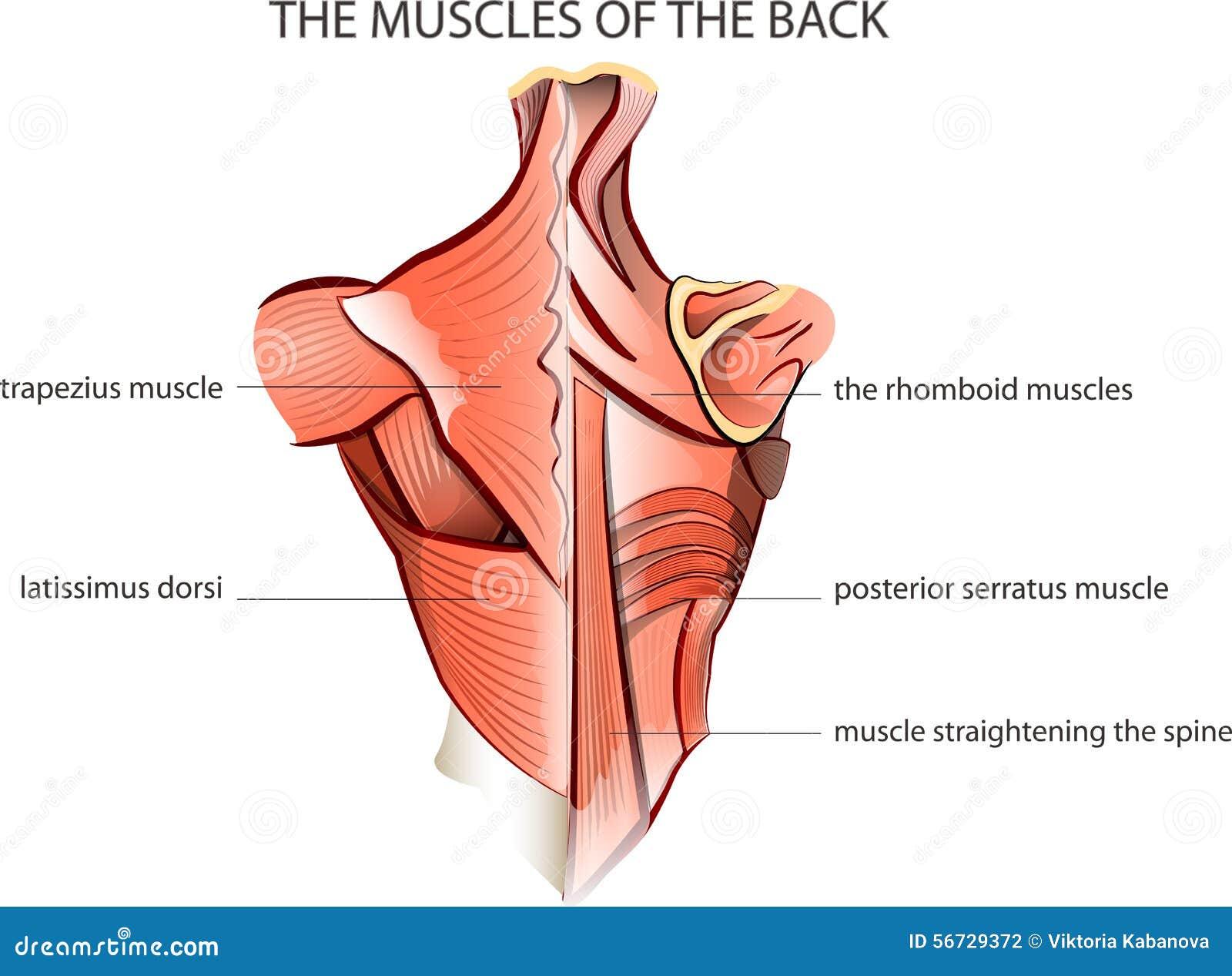 Muscules der Rückseite