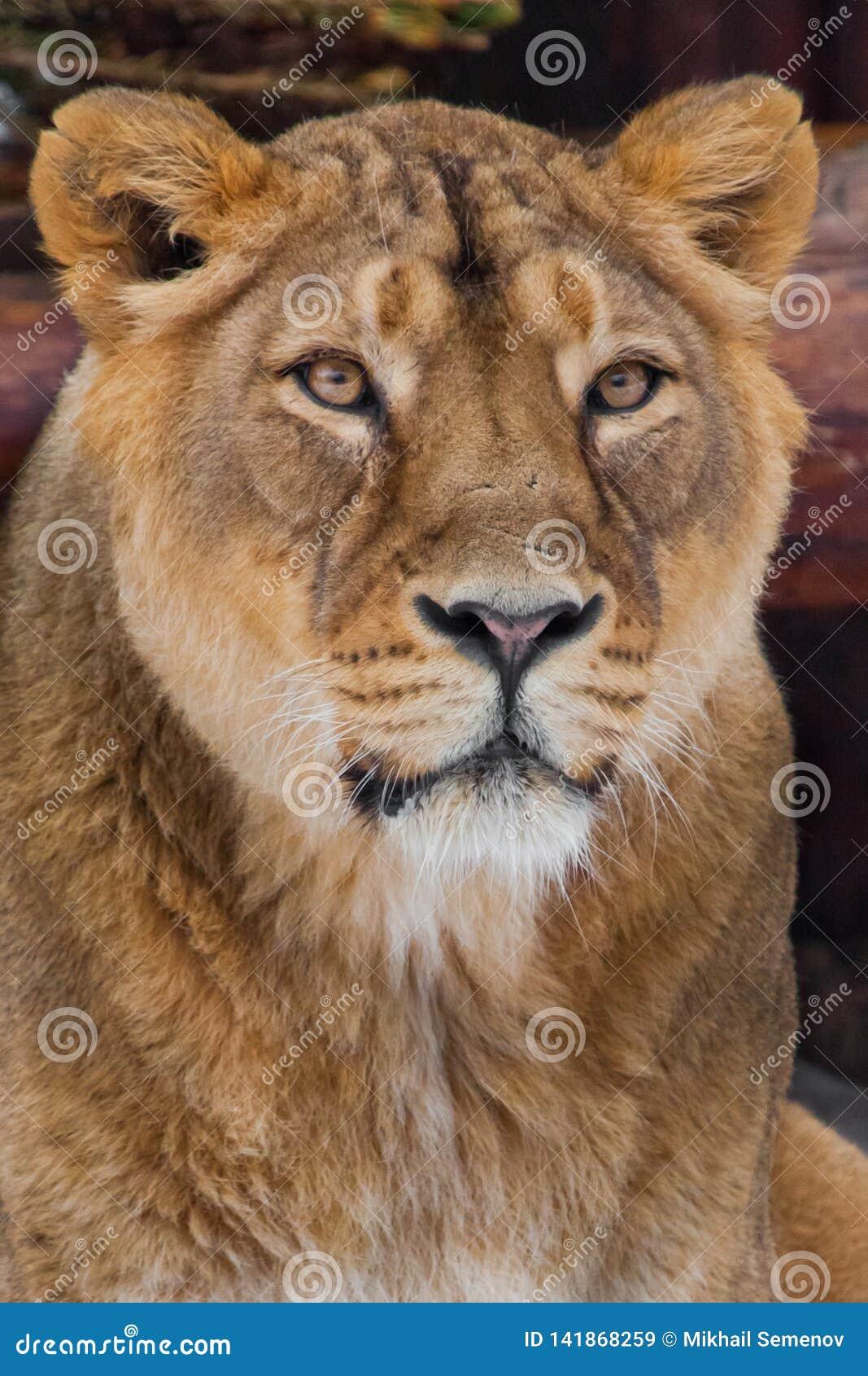 Museau d une fin de lionne, grand chat prédateur dans le cadre entier portrait - très en gros plan