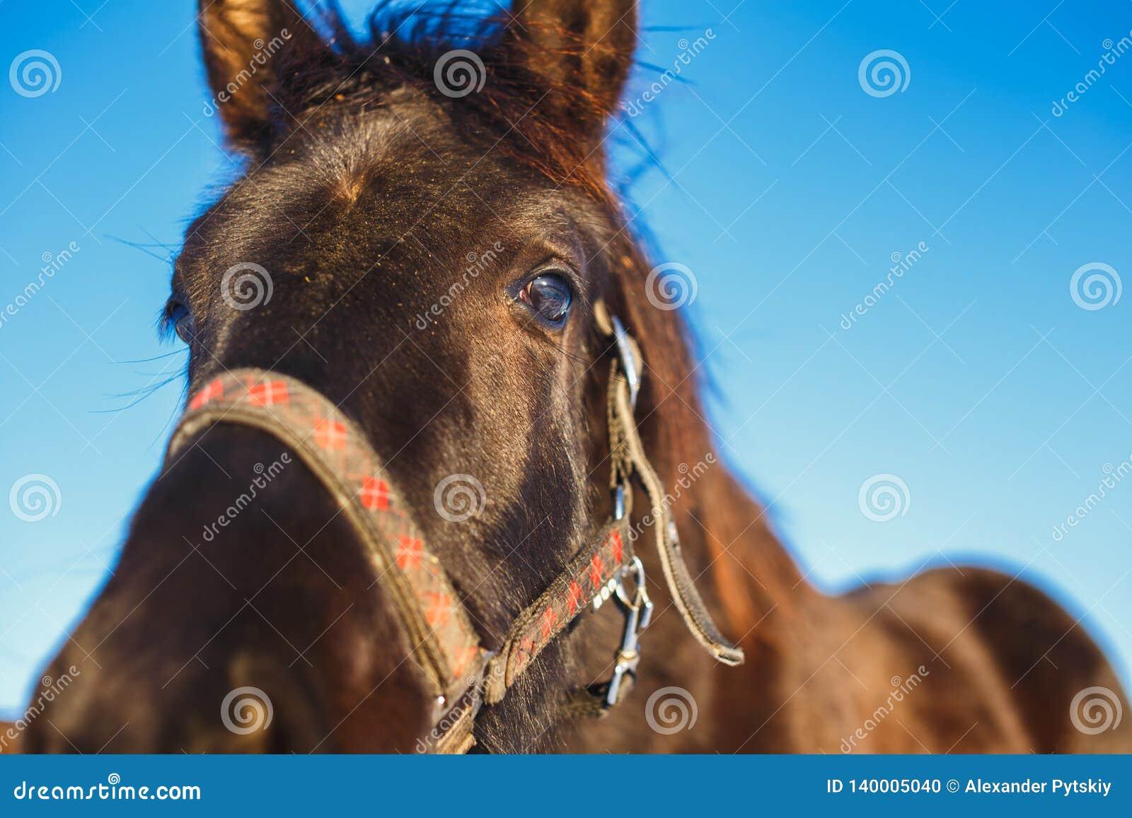 Museau du plan rapproché Arabe noir de poulain contre les grands yeux expressifs du cheval