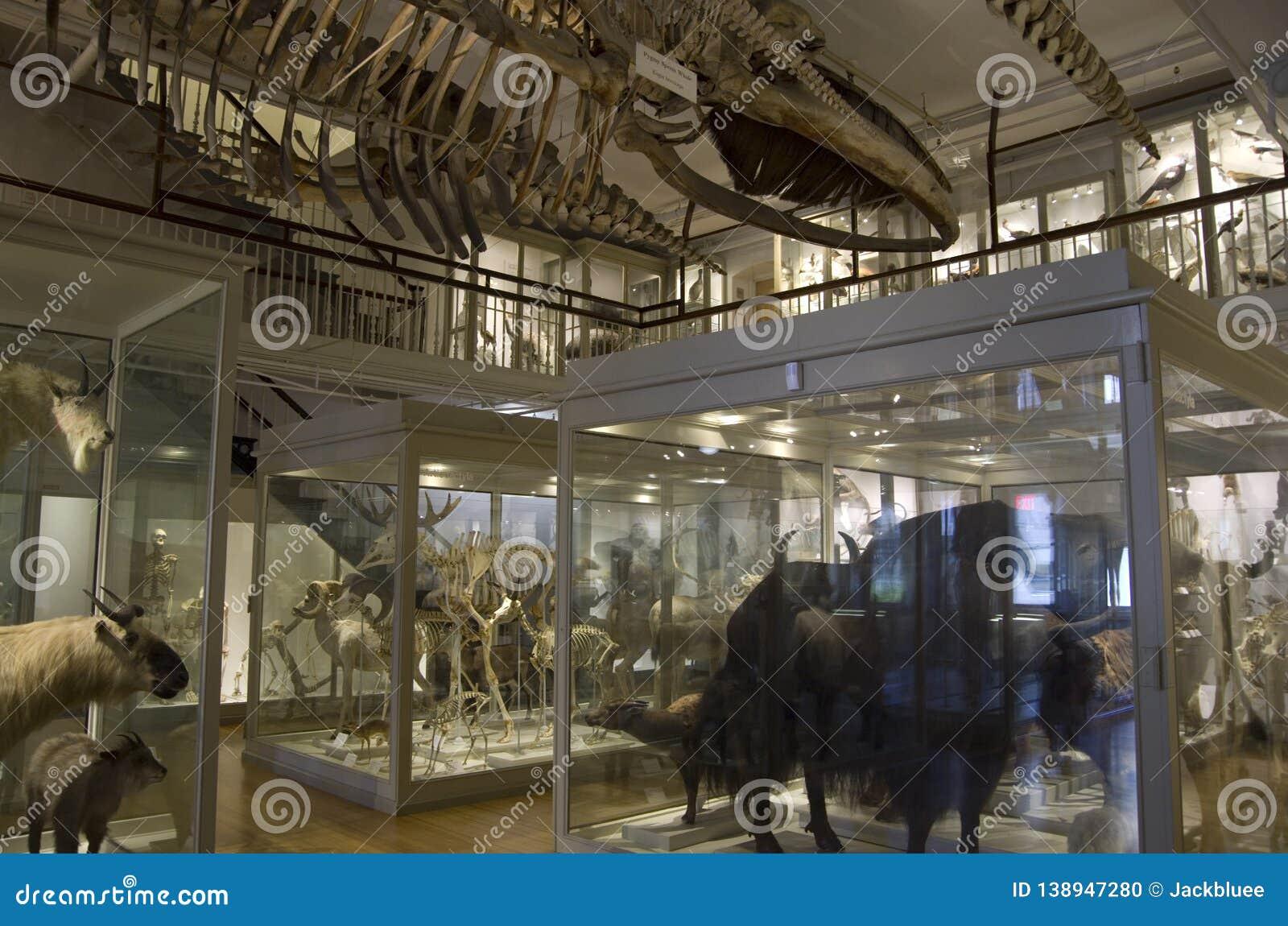 Museo de Harvard de los esqueletos del dinosaurio de la historia natural