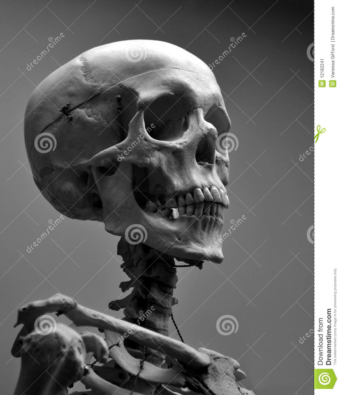 museum quality human skull skeleton stock image image of ancient