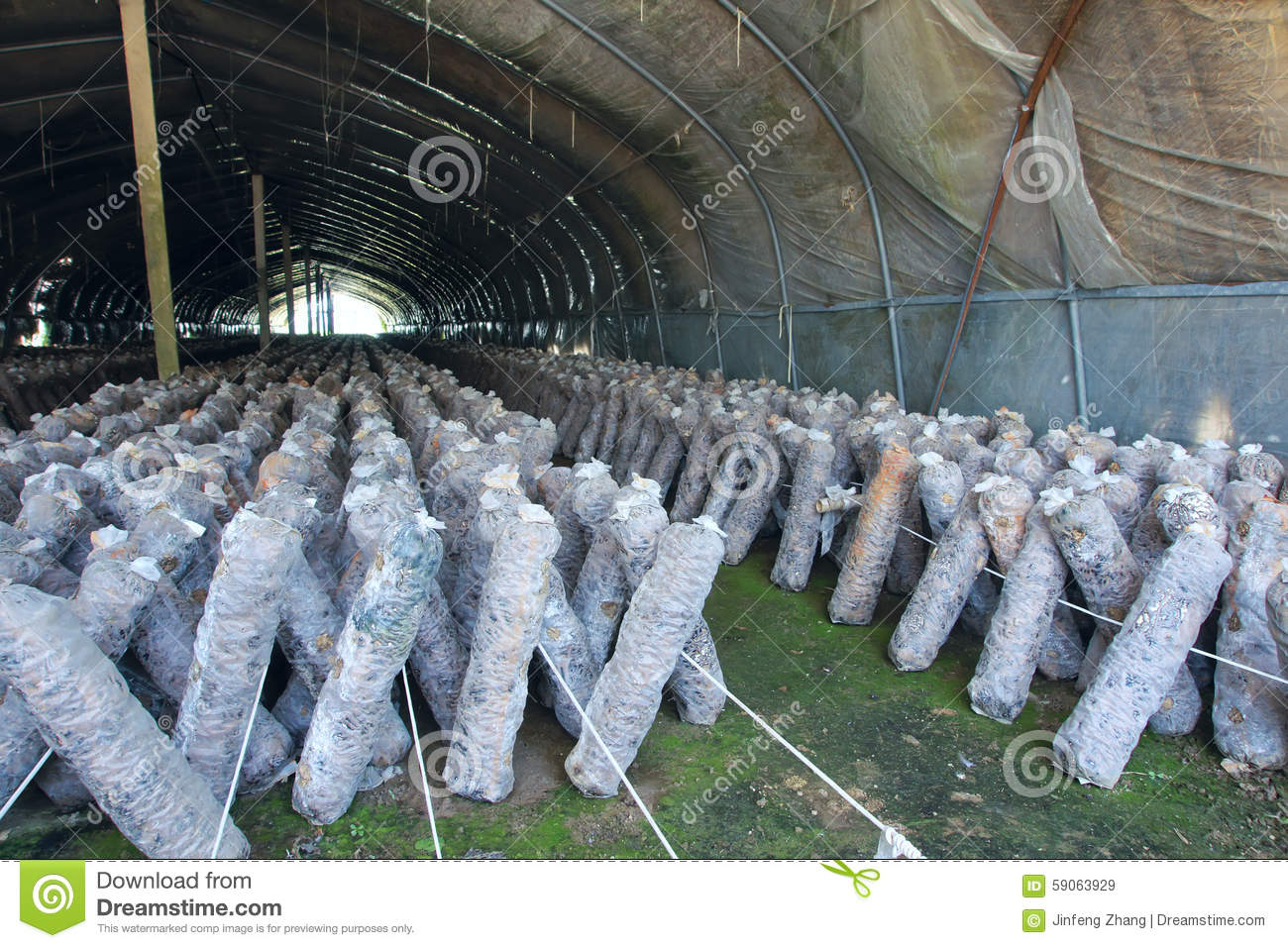 Mushroom cultivation stock image  Image of culture, bags