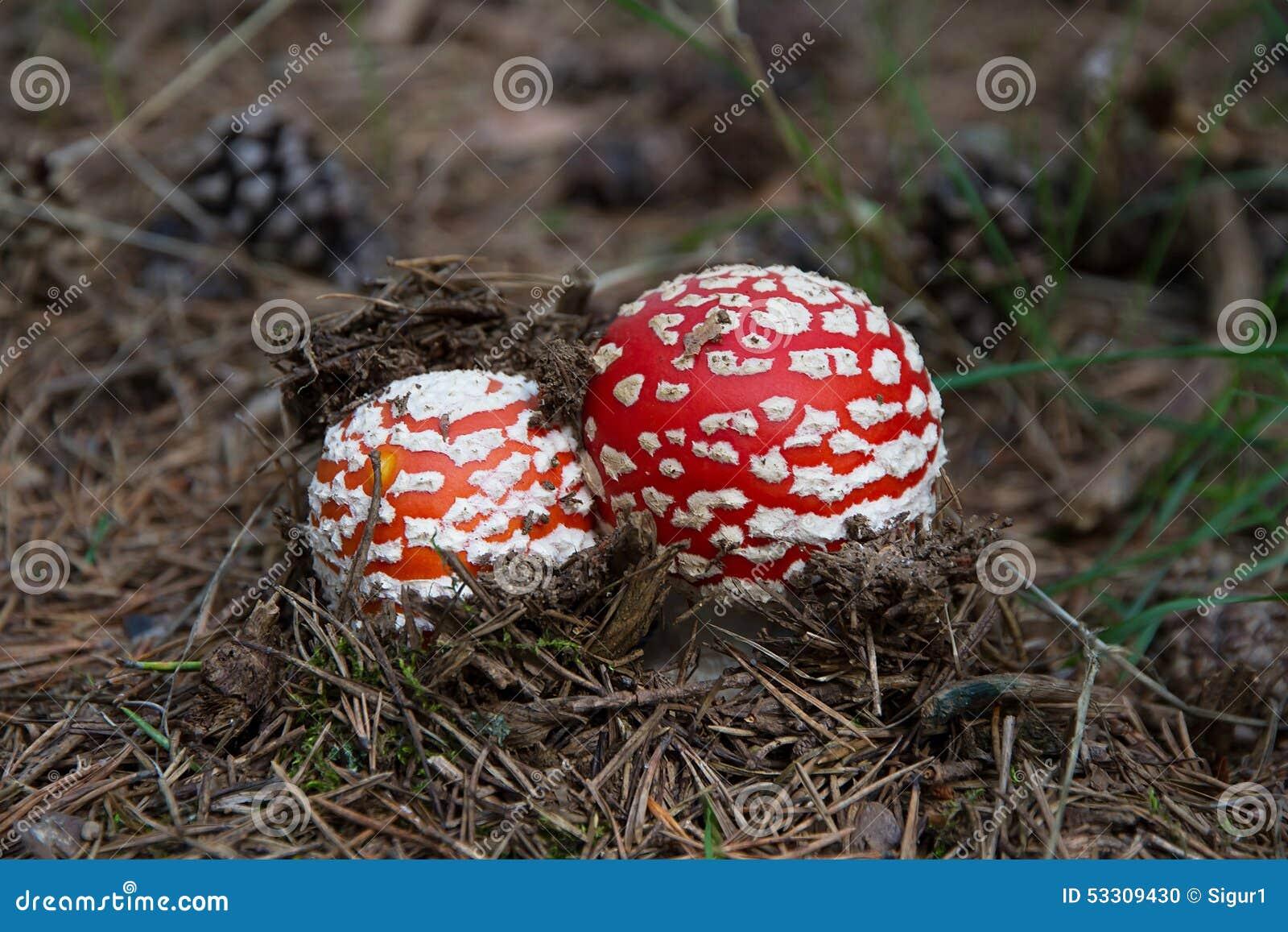 Mushroom fly amanit in pinewood