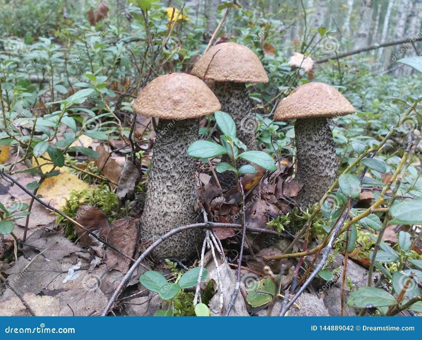 Mushroom Leccinum in the forest