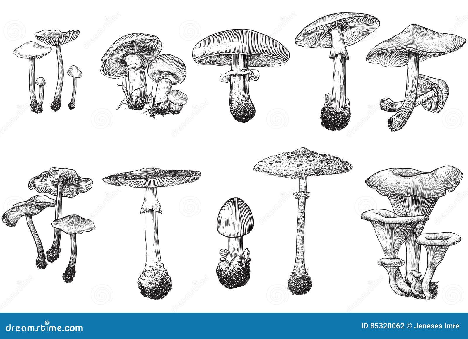 Mushroom Illustration Drawing Engraving Ink Line Art
