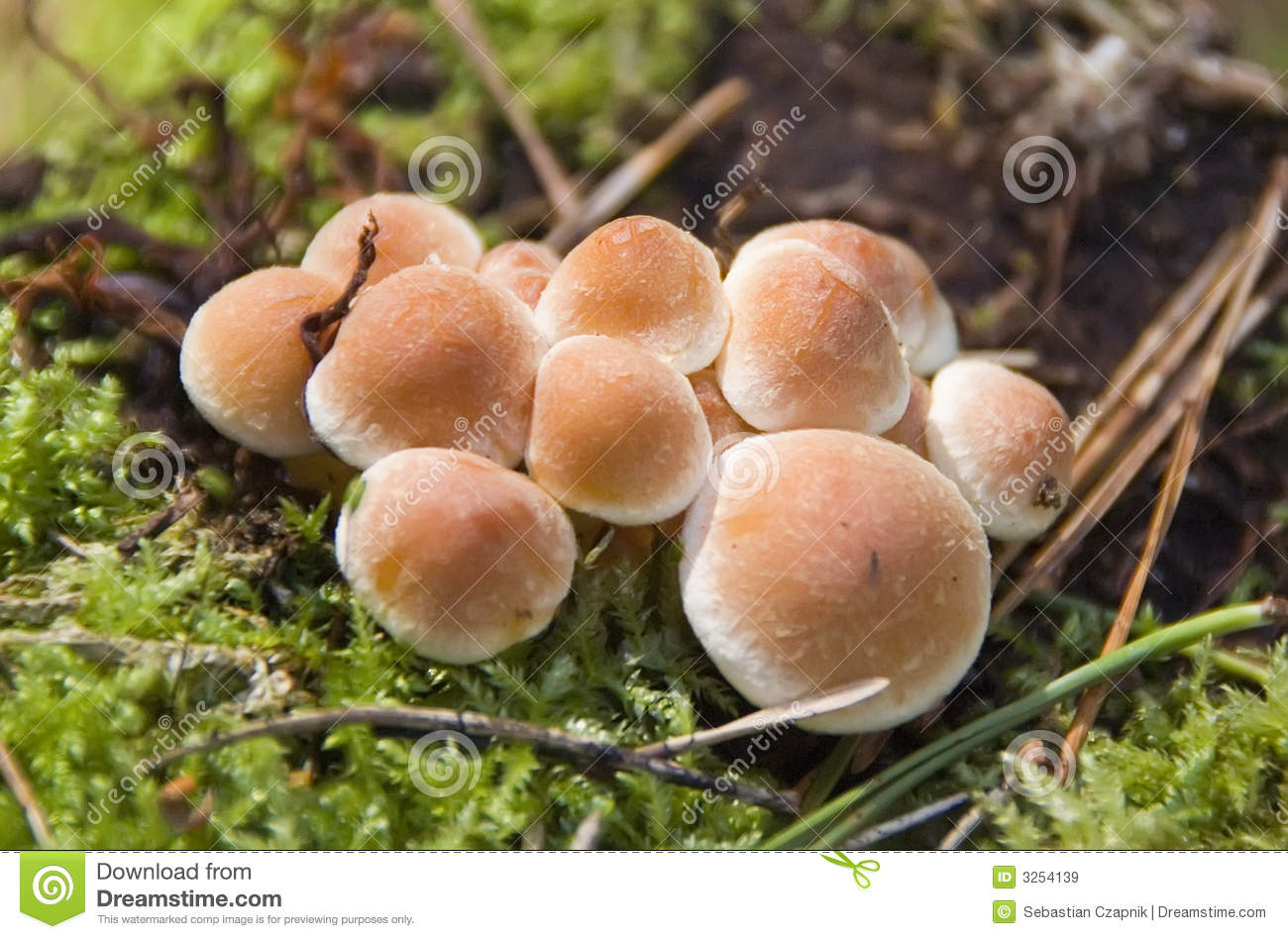 Download Mushrooms stock image. Image of moss, plants, fungus, group - 3254139