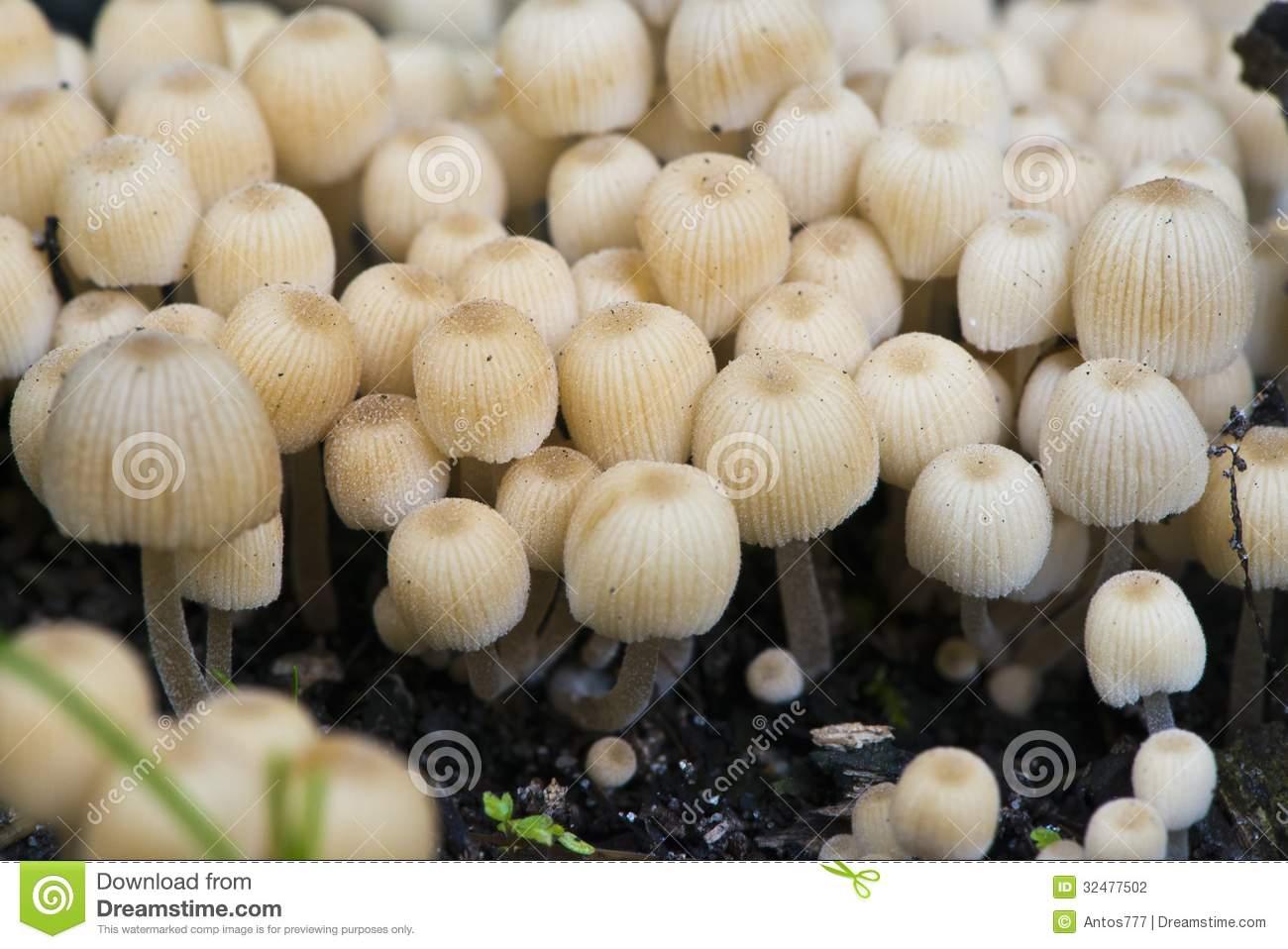 Download Mushrooms stock photo. Image of eating, head, close, food - 32477502
