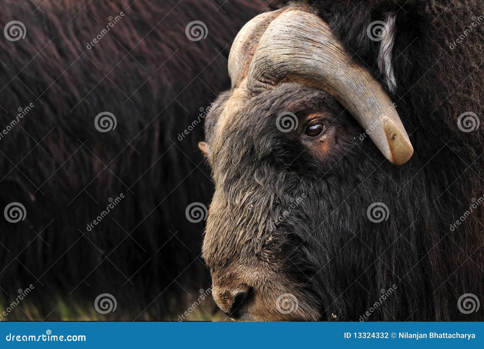 Musk ox closeup